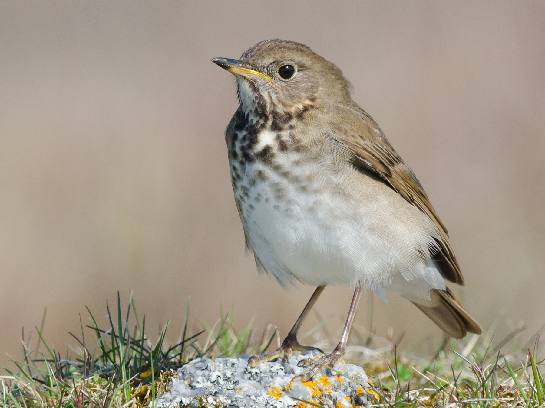 Gray-cheeked Thrush - Alix d'Entremont