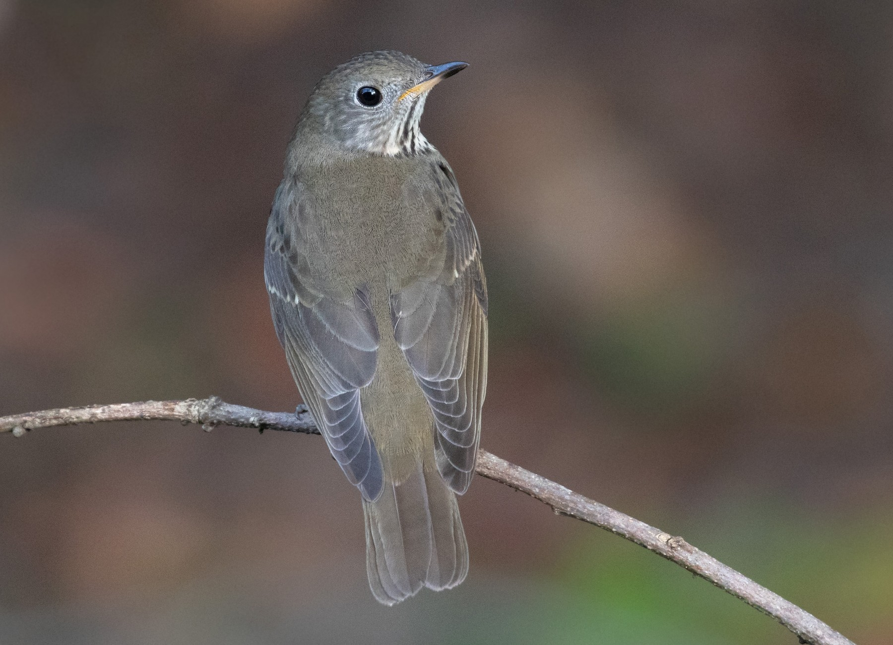 Gray-cheeked Thrush - Kathy Malone