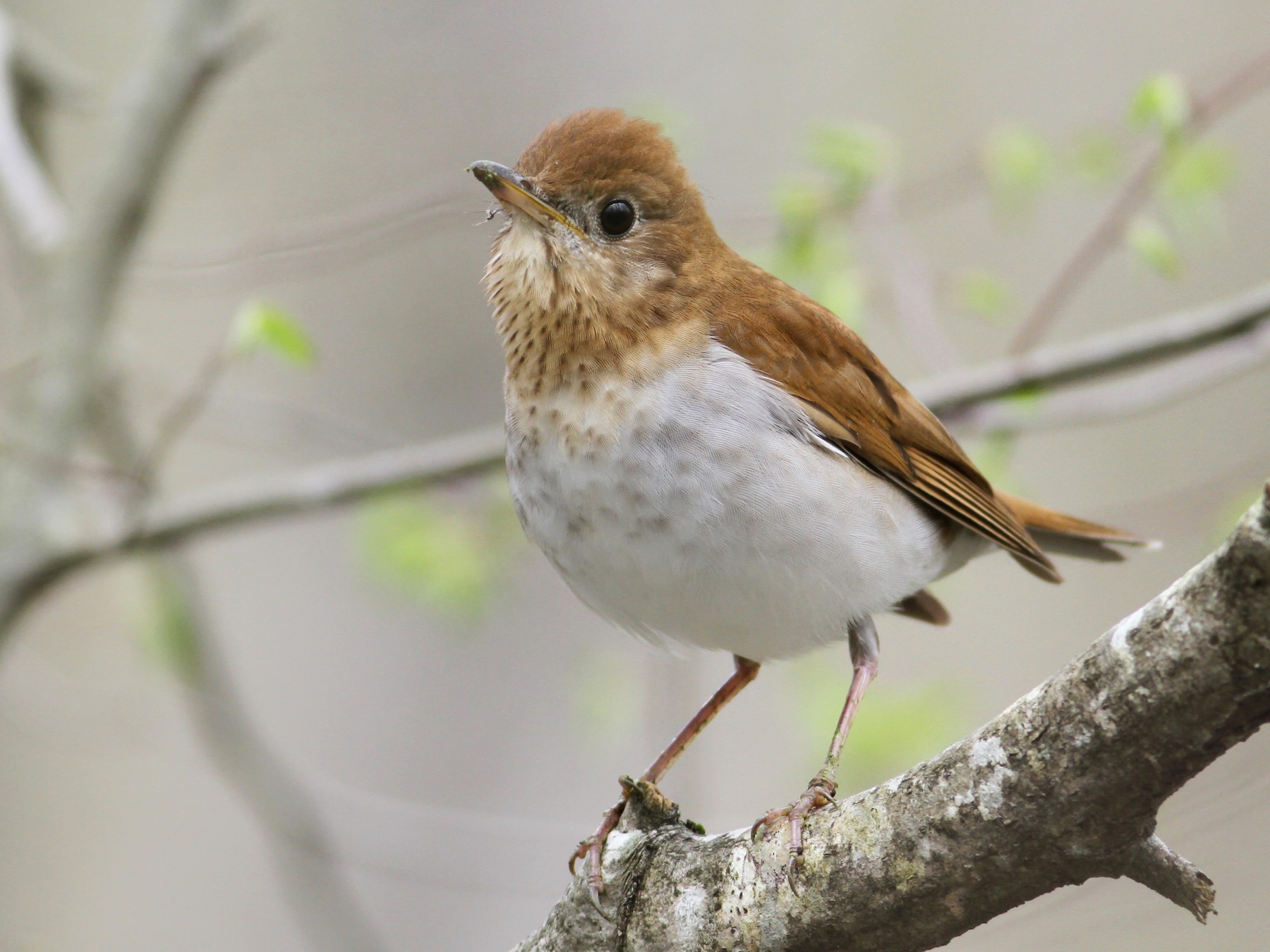 Veery - Andy Eckerson