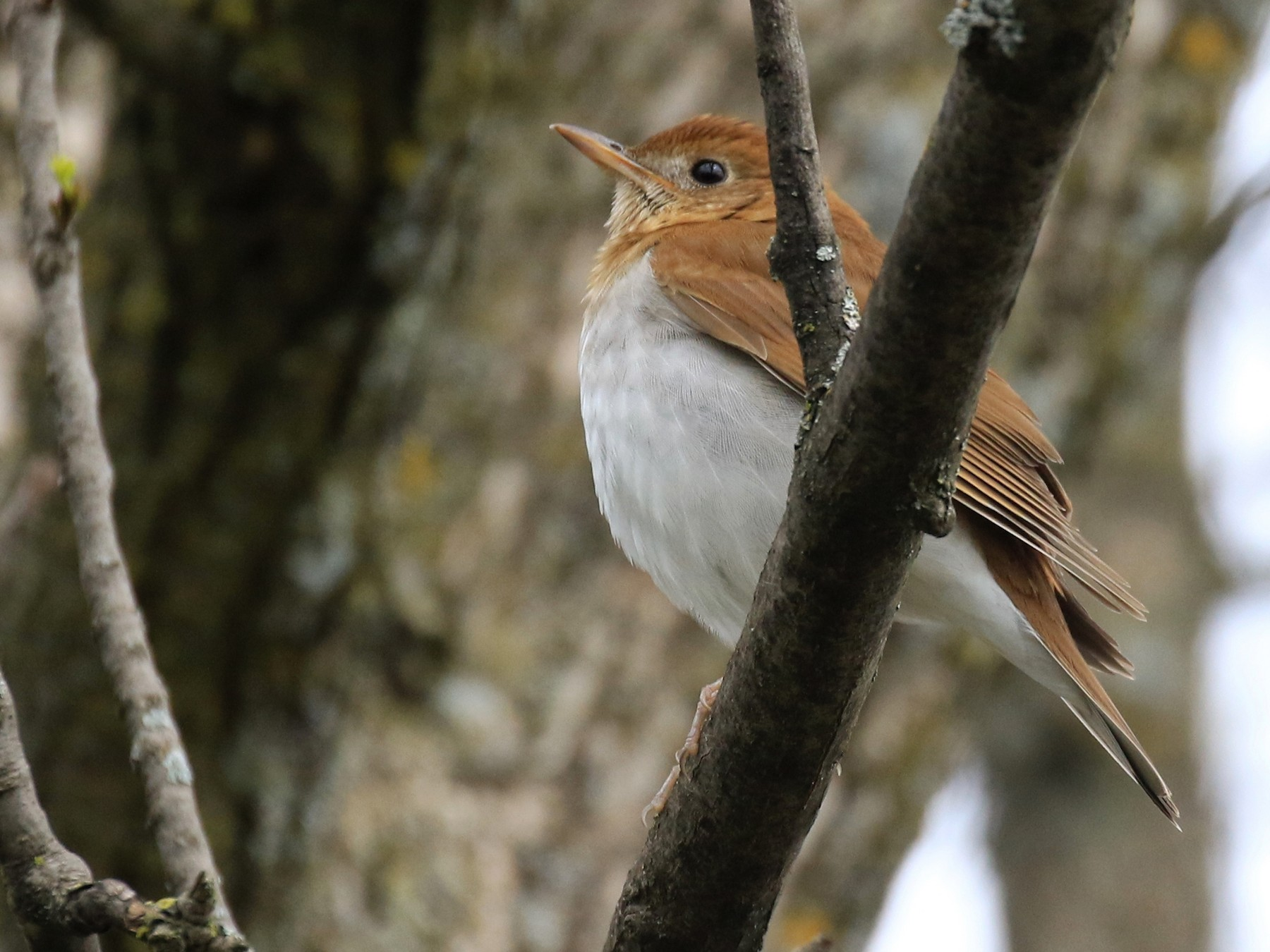 Veery - Denis Tétreault