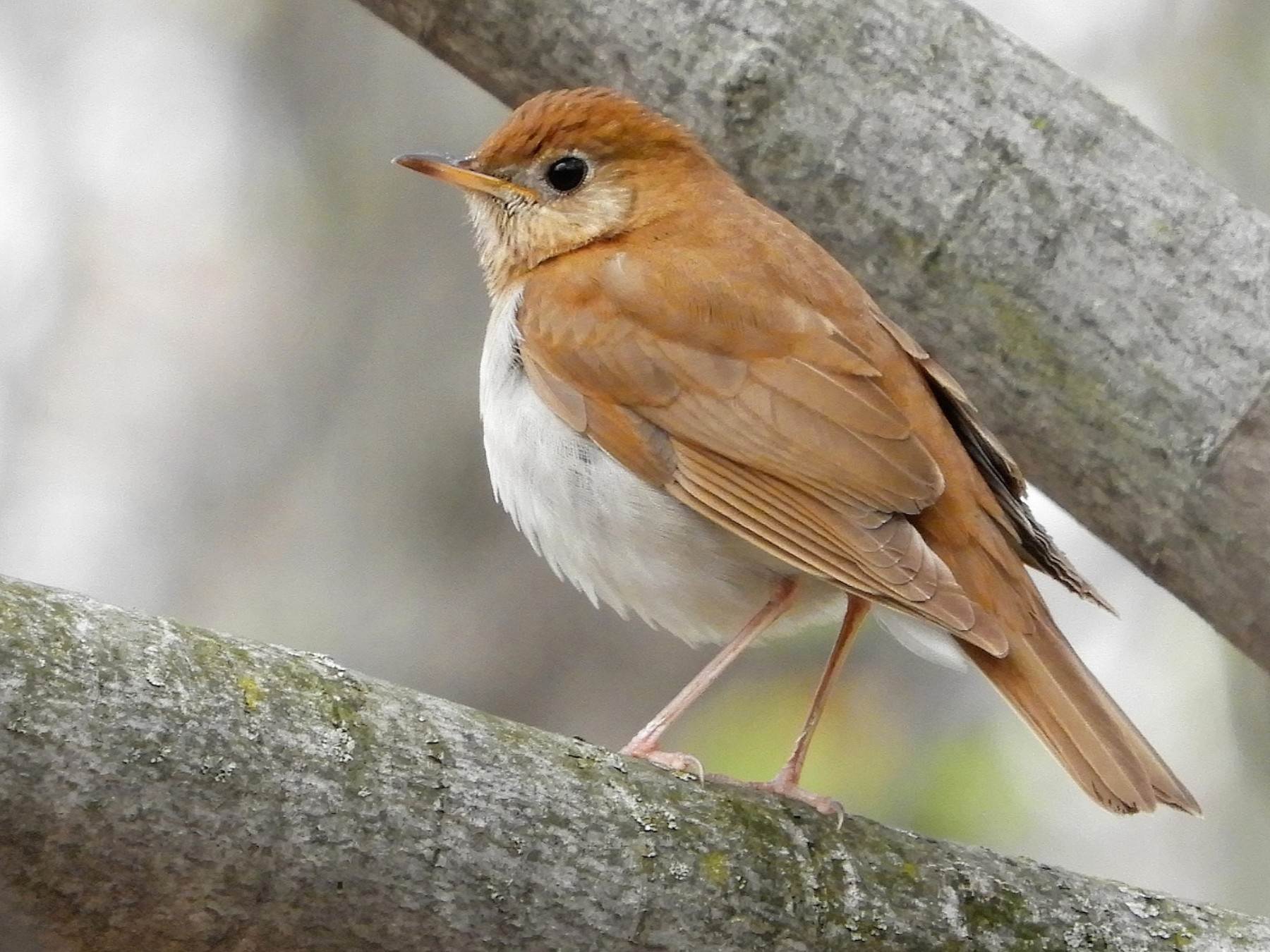 Veery - Anne-Marie Dufour