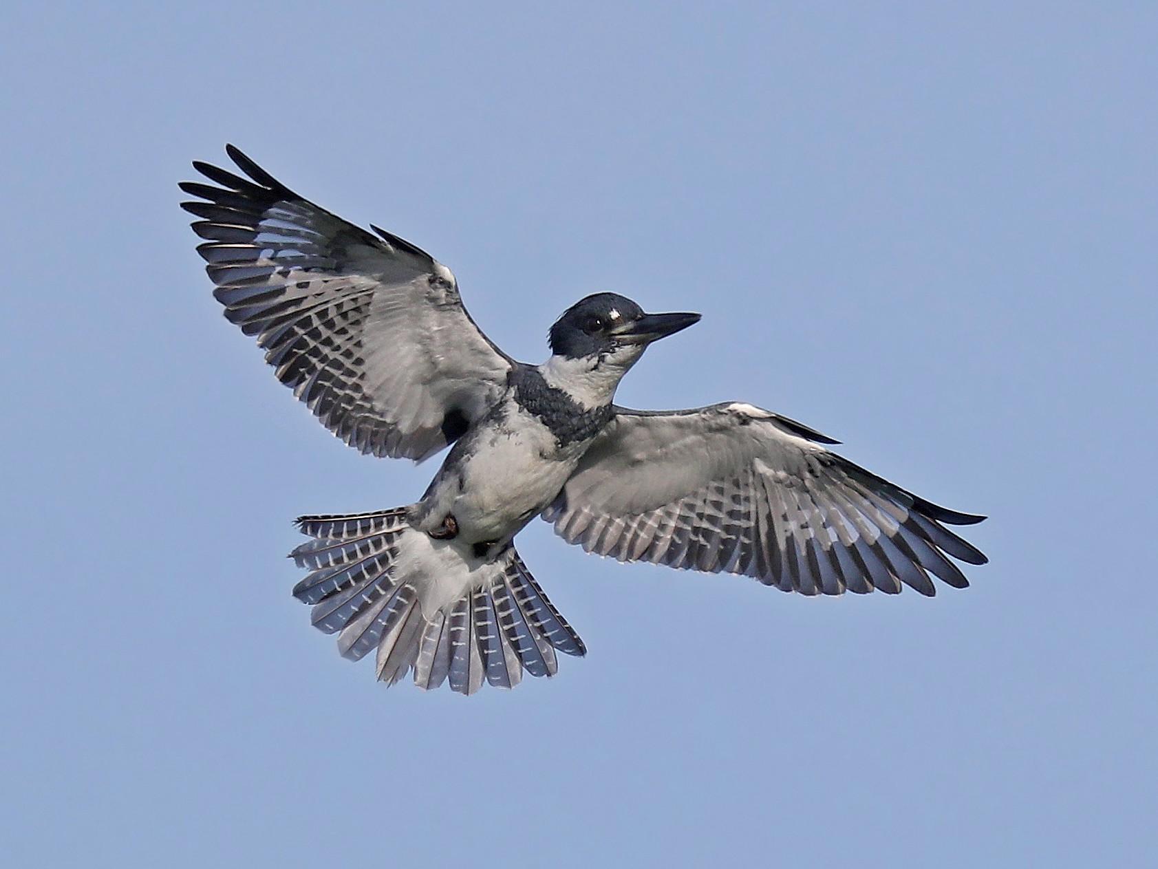 Belted Kingfisher - Matt Davis