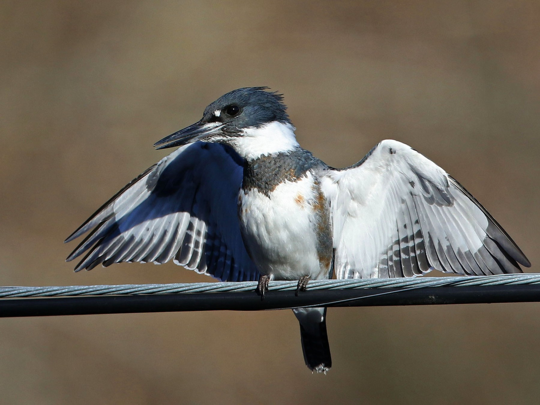 Belted Kingfisher - Jay McGowan