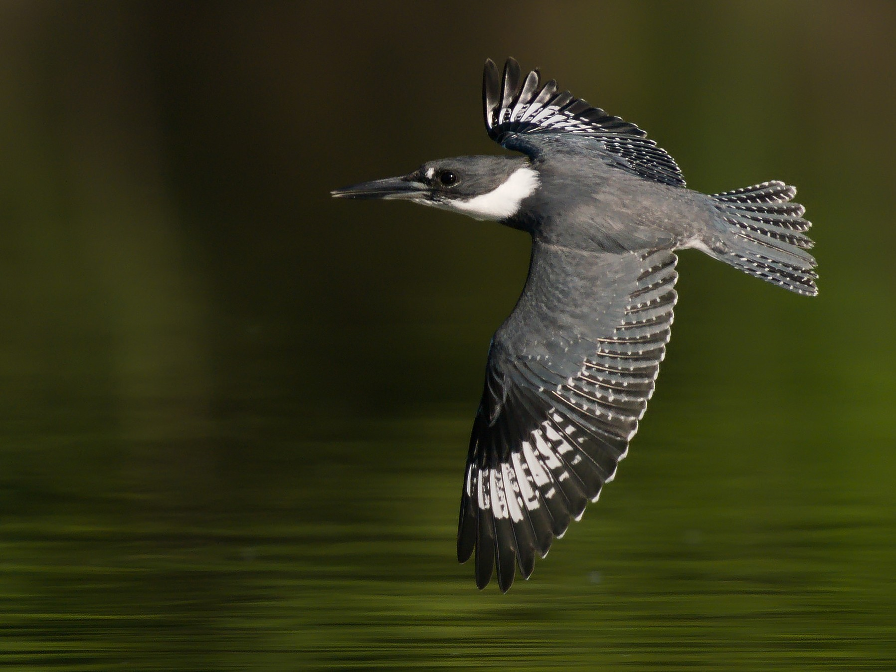 Belted Kingfisher - Peter Finley
