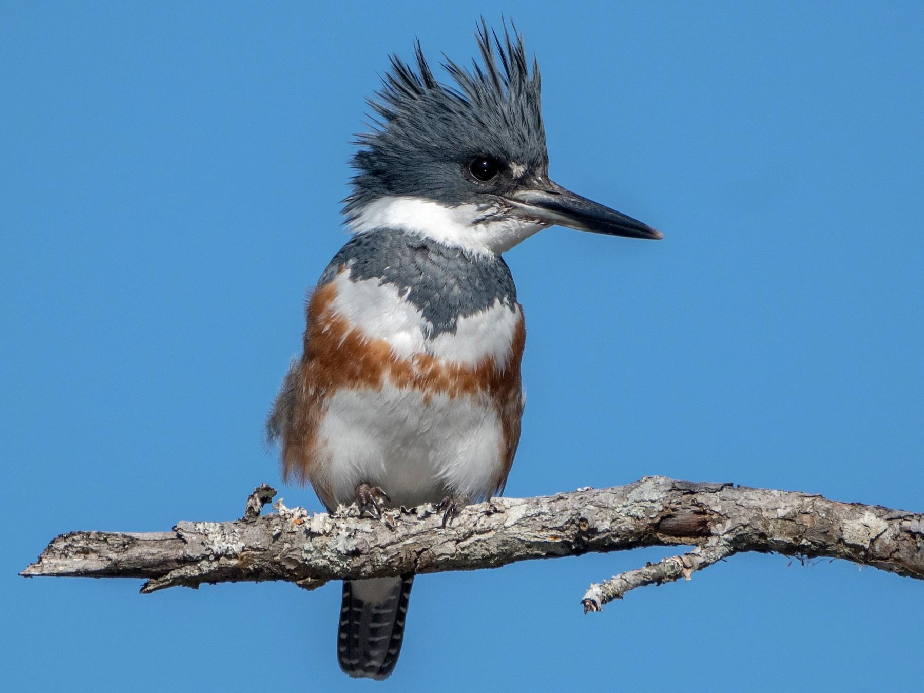 Belted Kingfisher - Charlie Bruggemann