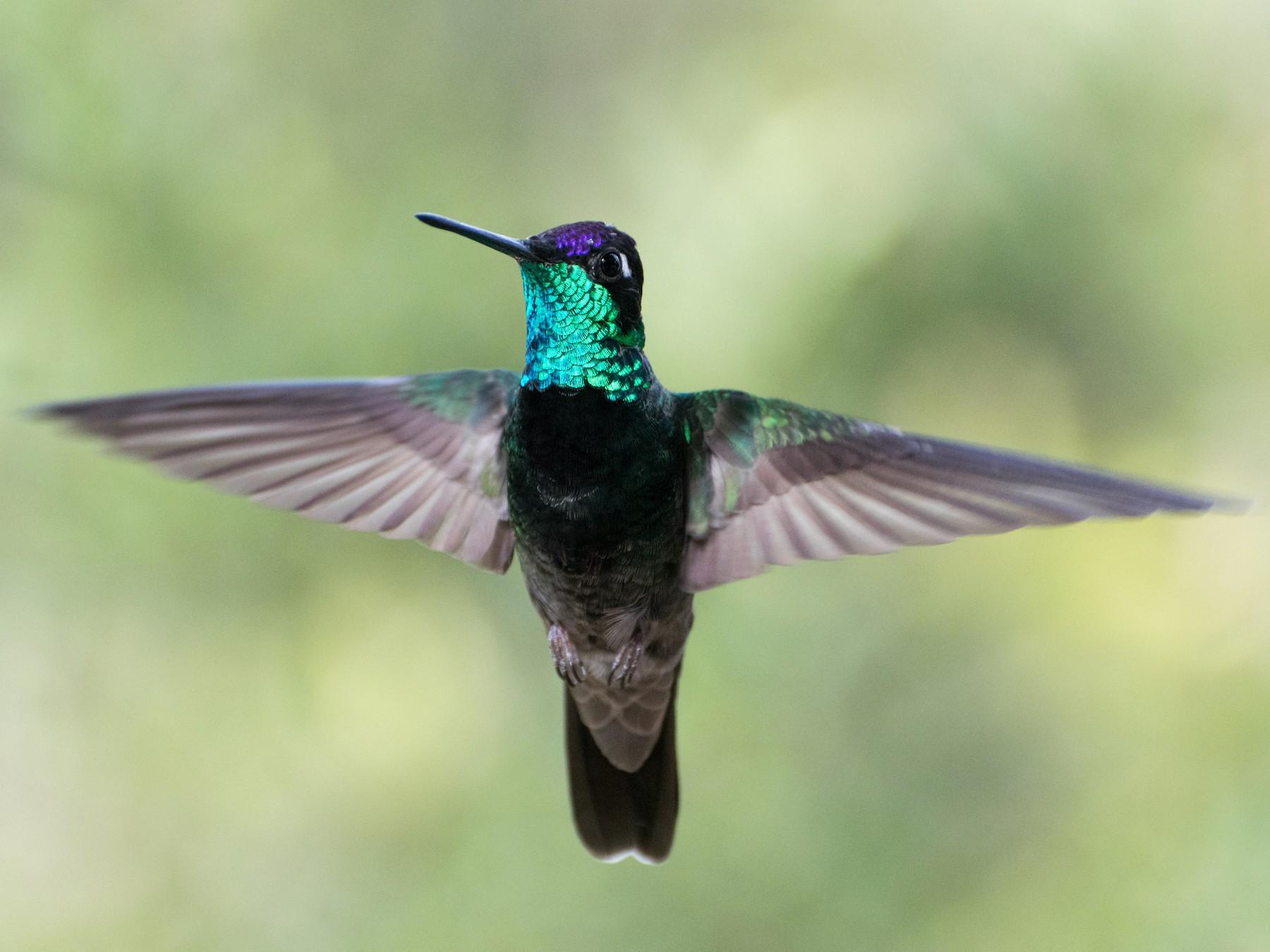 Rivoli's Hummingbird - Cat Zoroark
