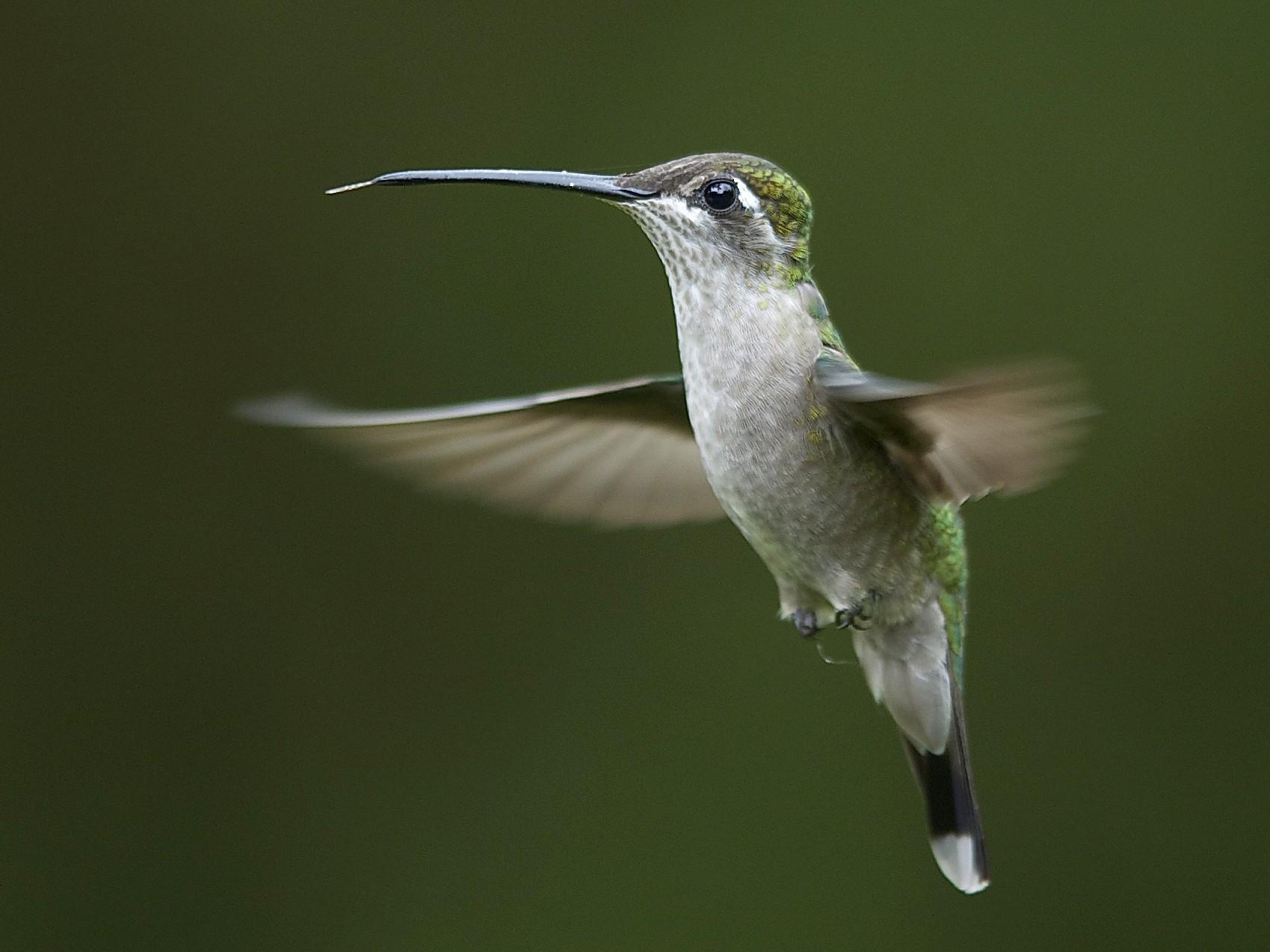 Rivoli's Hummingbird - Marc FASOL