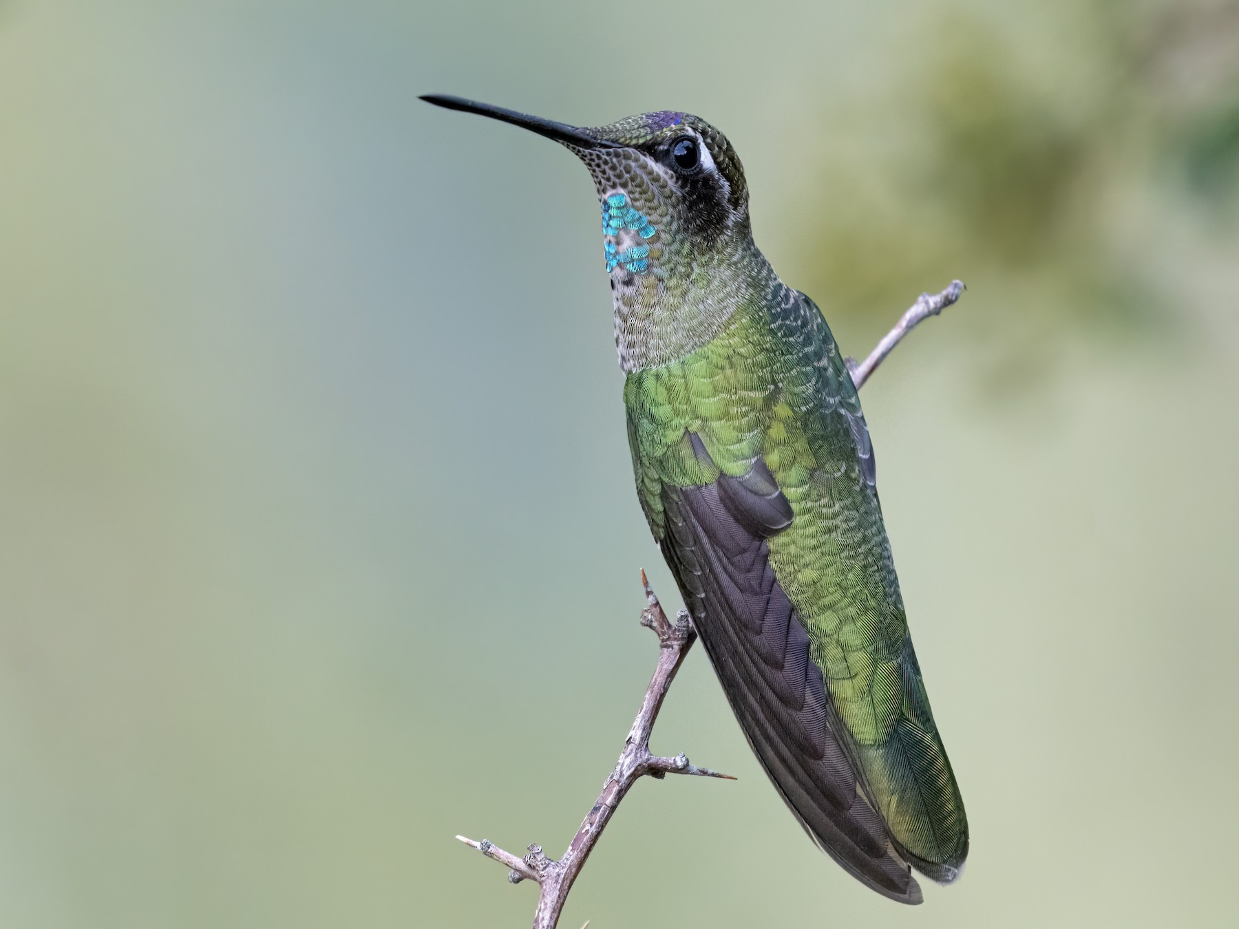 Rivoli's Hummingbird - Bryan Calk