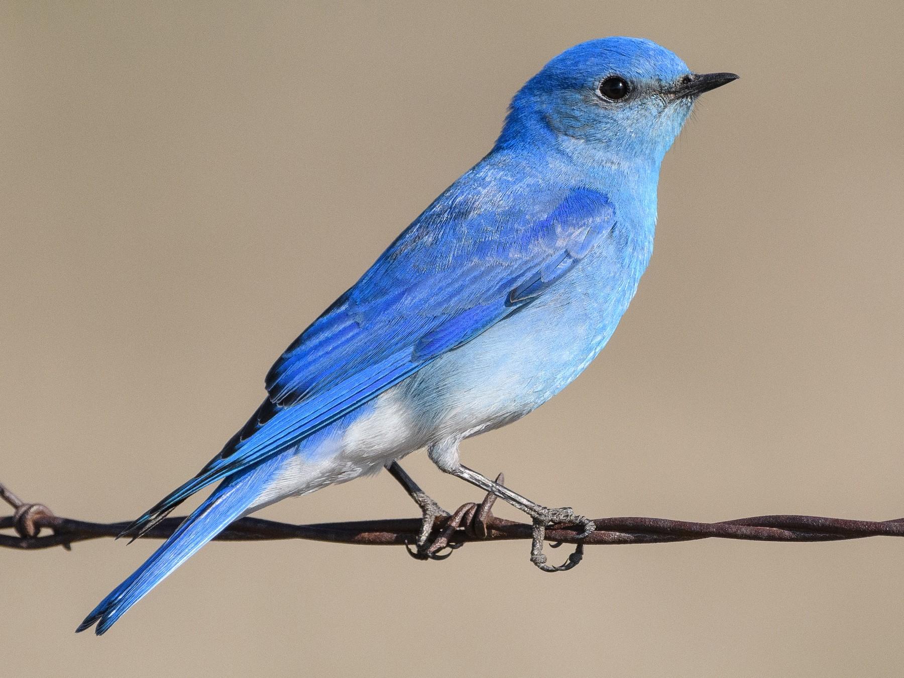 Mountain Bluebird - Darren Clark