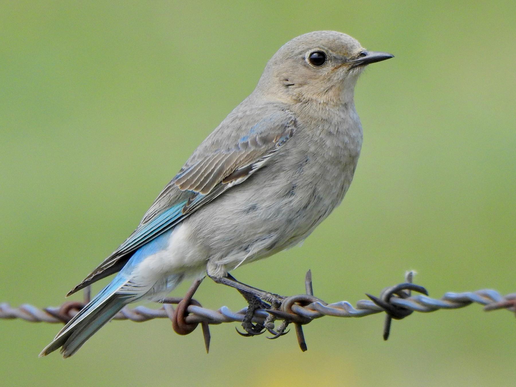 Mountain Bluebird - Kalin Ocaña