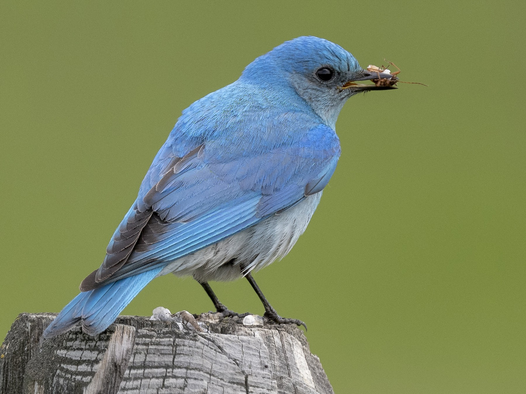 Mountain Bluebird - Ian Routley