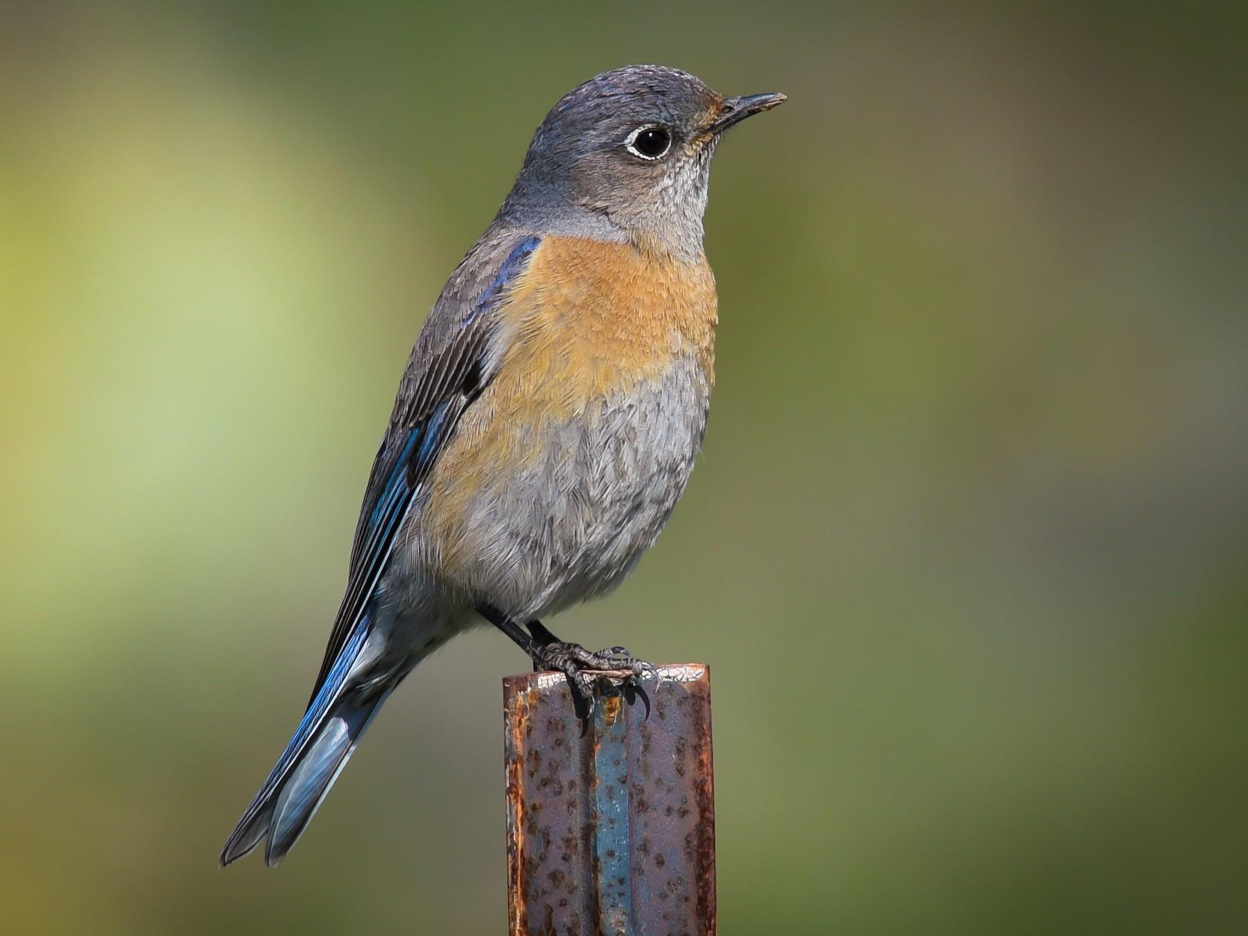 Western Bluebird - Scott Martin