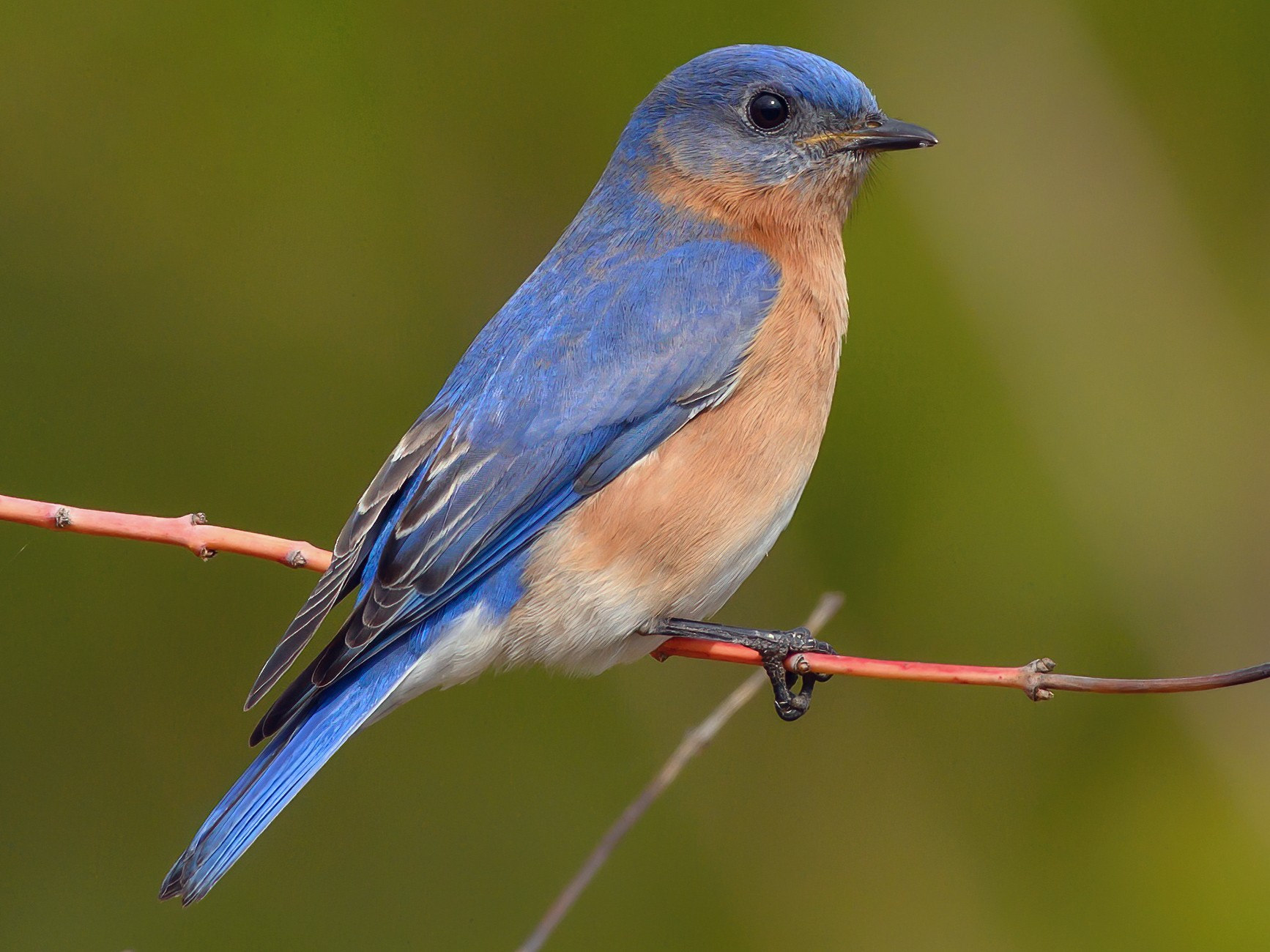Eastern Bluebird - Keith Kennedy