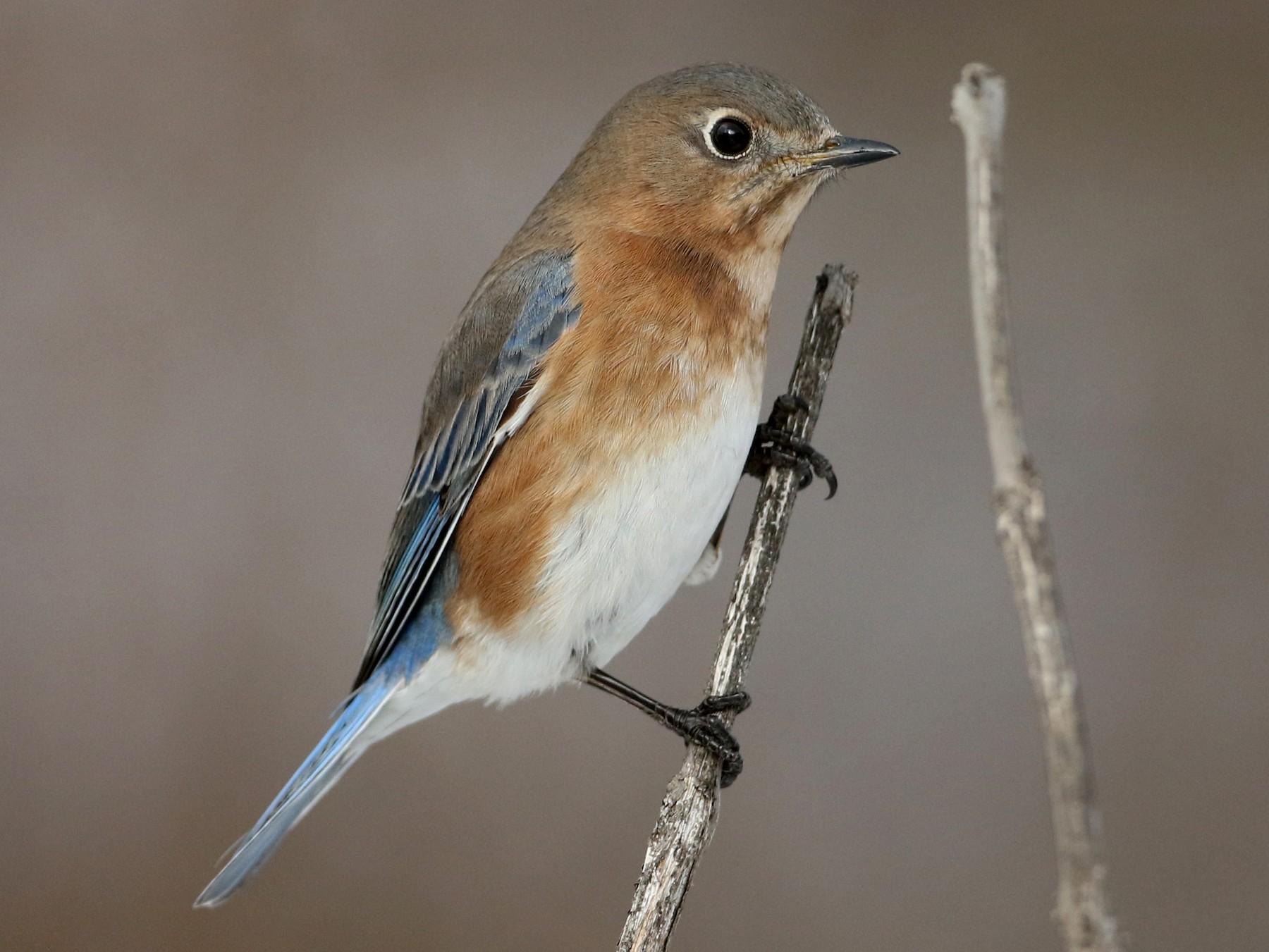 Eastern Bluebird - Jay McGowan