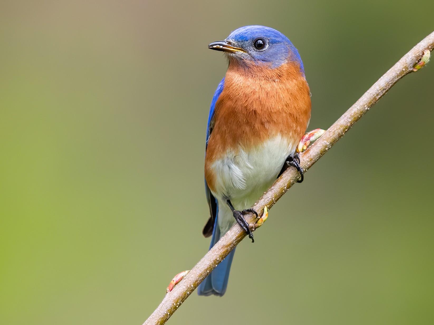 Eastern Bluebird - Brad Imhoff
