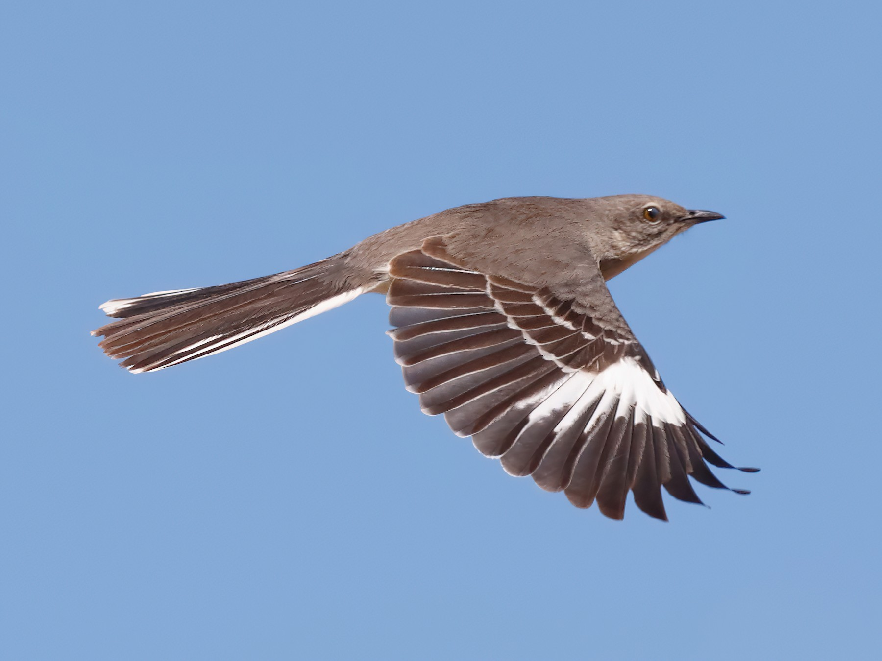 Northern Mockingbird - Steve Kolbe