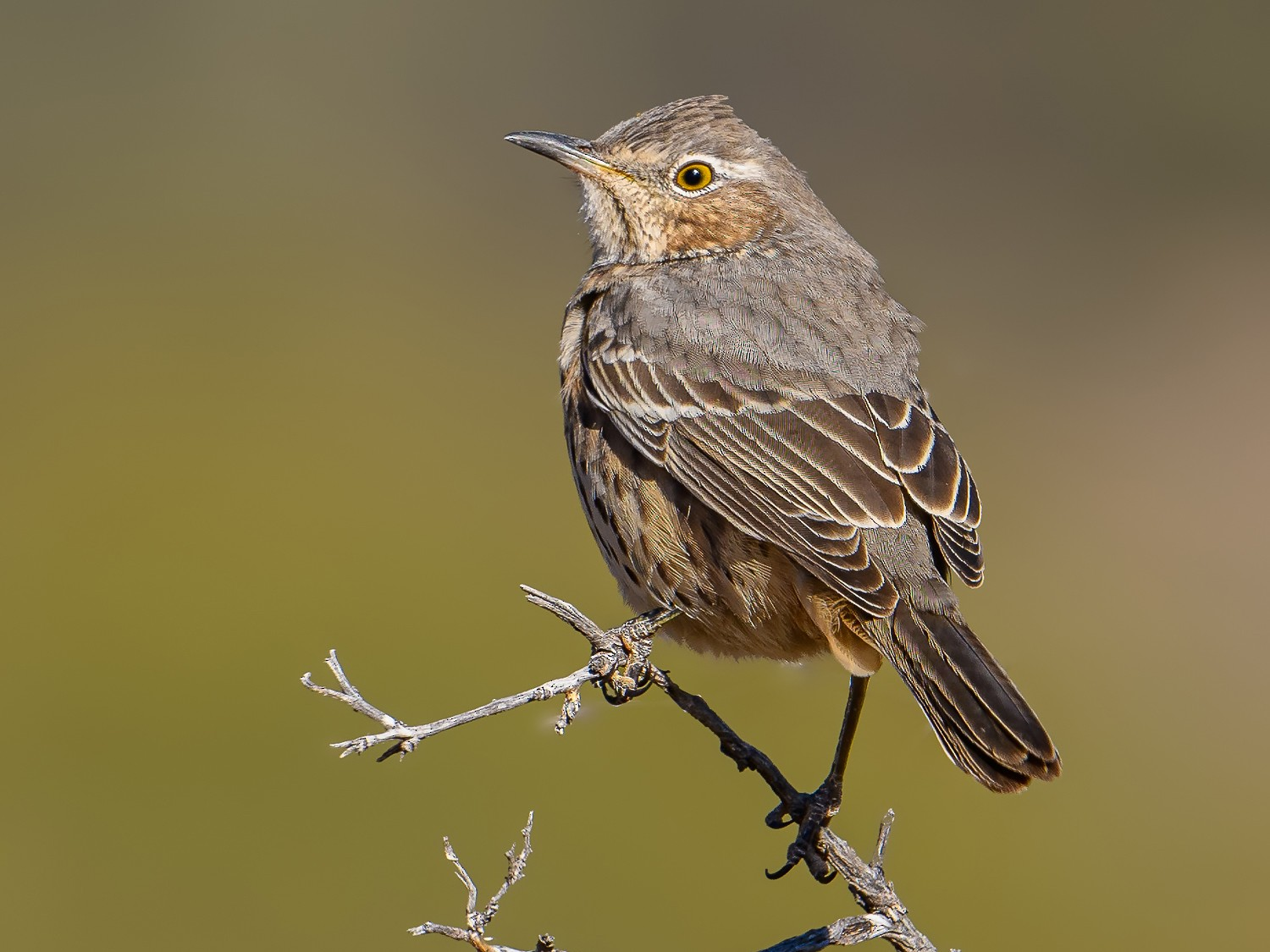 Sage Thrasher - Cecilia Riley