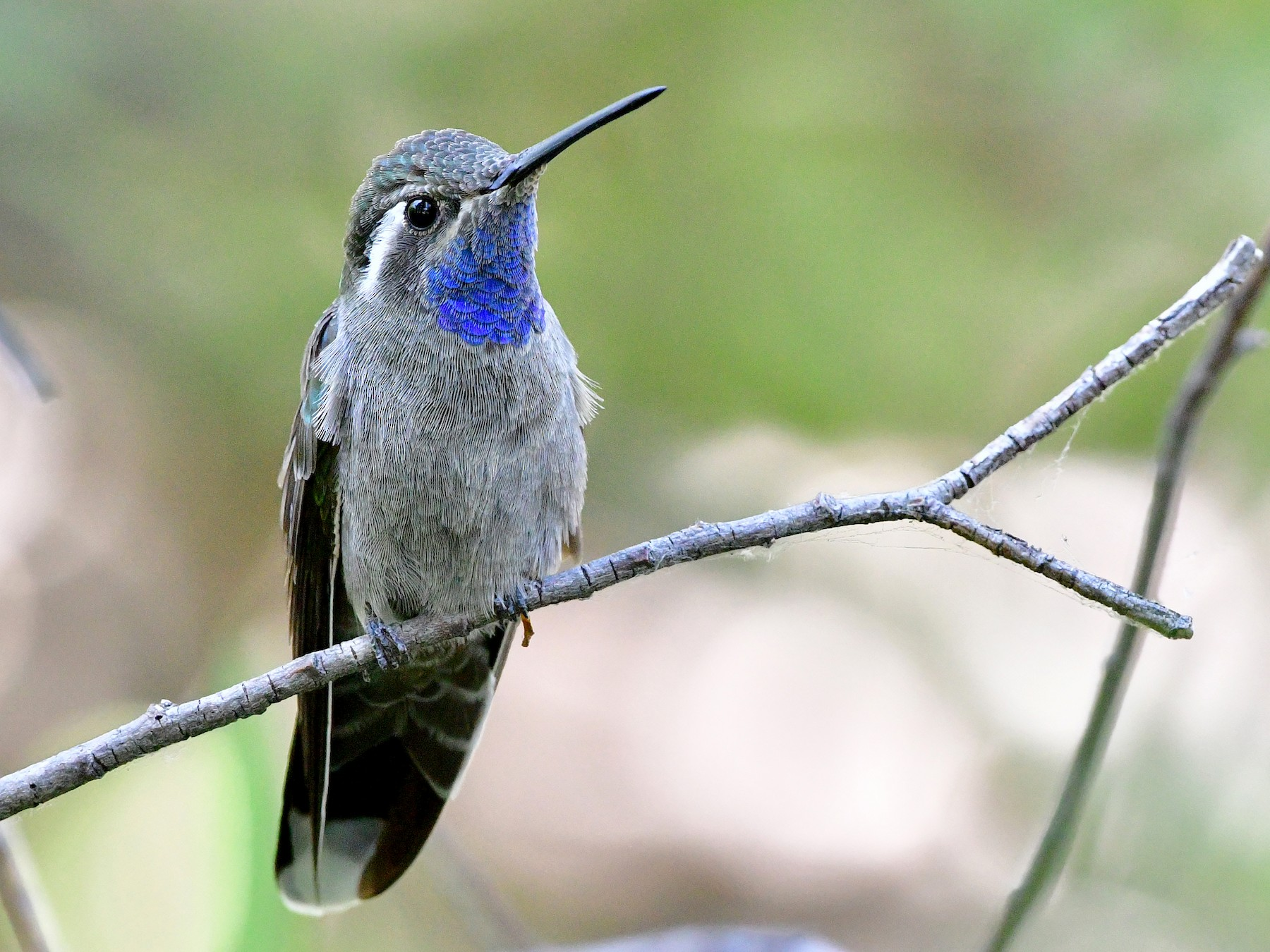 Blue-throated Mountain-gem - Bryan Calk