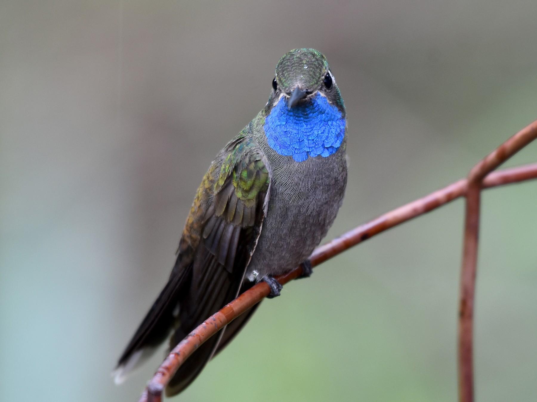 Blue-throated Mountain-gem - Drew Beamer