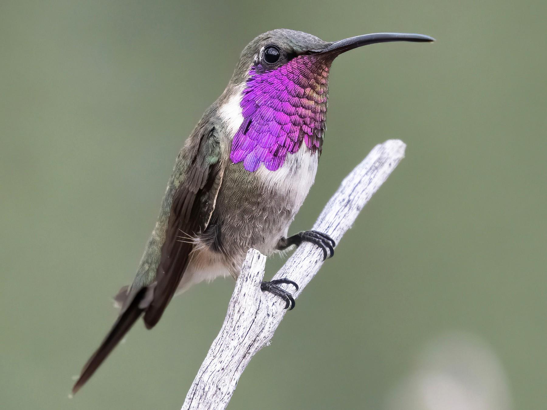 Lucifer Hummingbird - Marky Mutchler