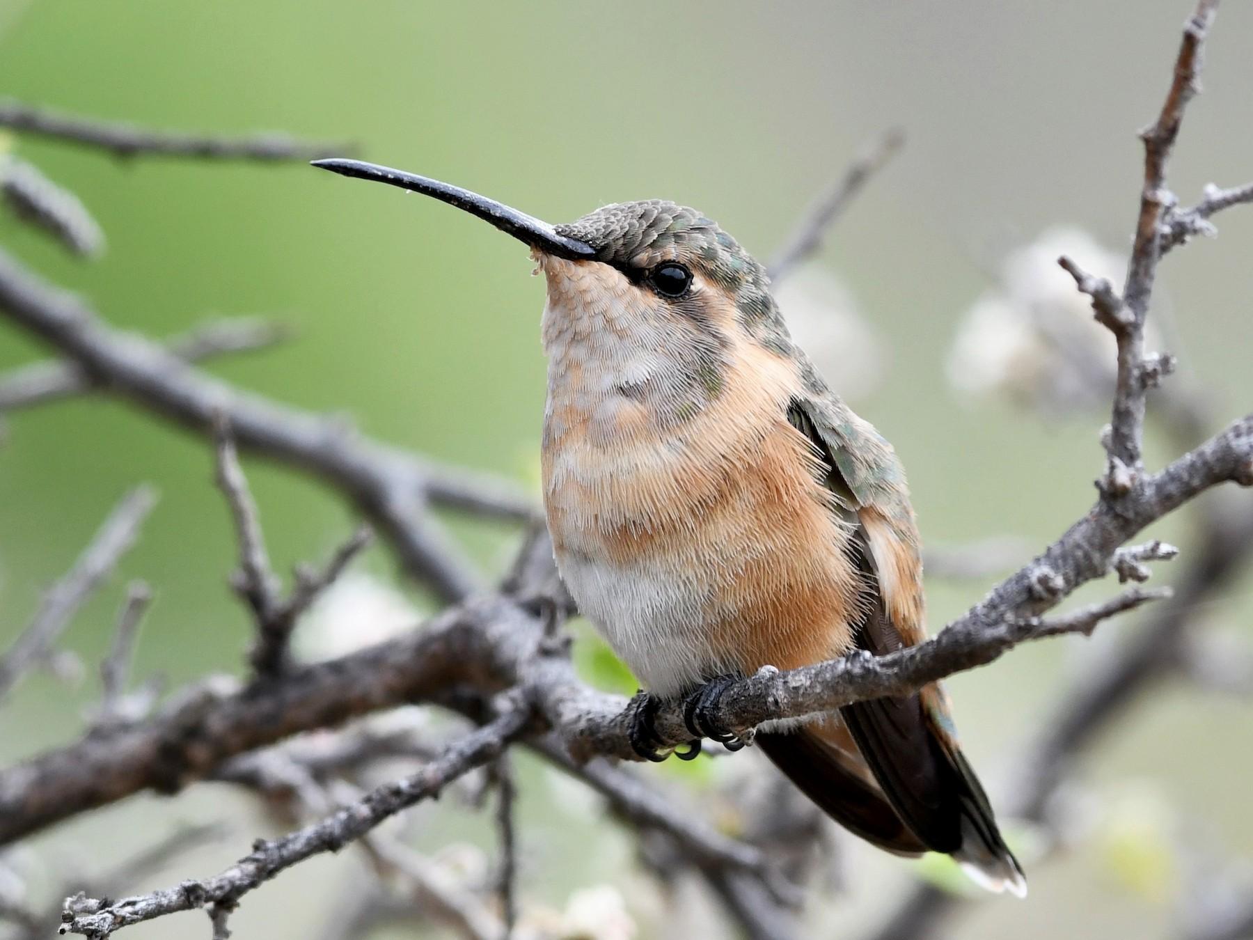 Lucifer Hummingbird - Brandon Nidiffer