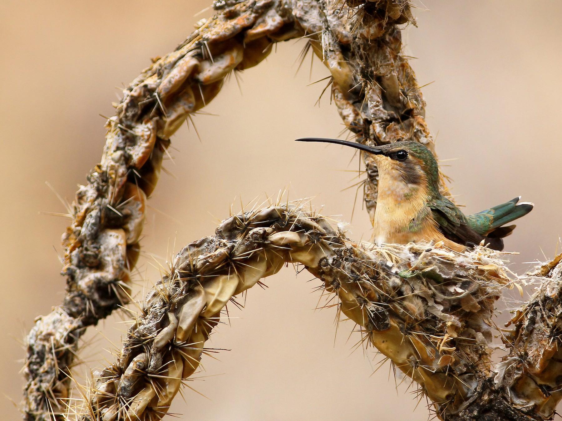 Lucifer Hummingbird - Andrew Spencer