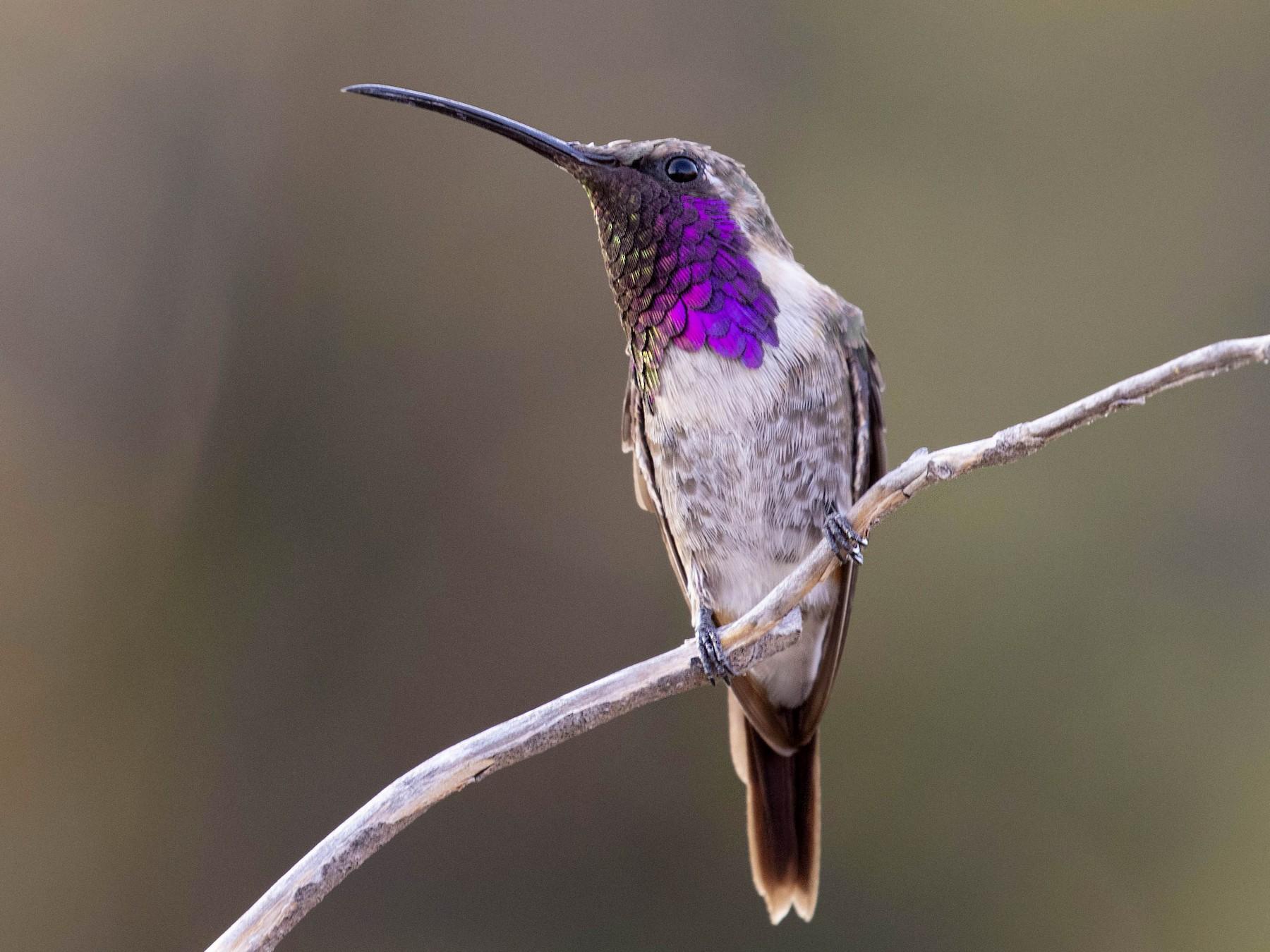 Lucifer Hummingbird - Hannah Willars