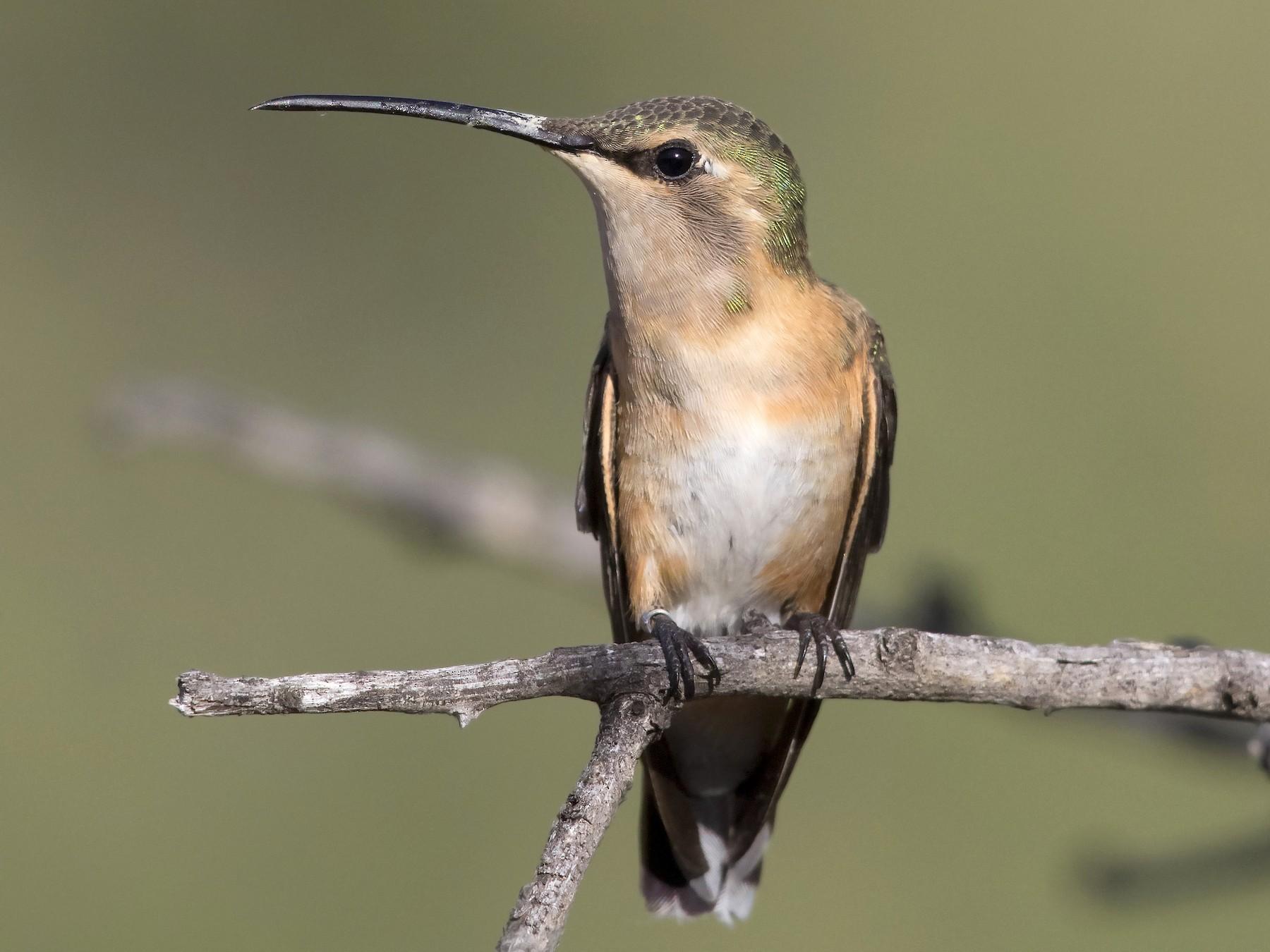 Lucifer Hummingbird - Arnaud Lacroix