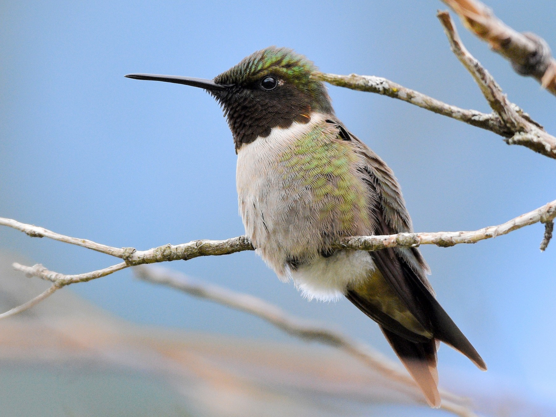 Ruby-throated Hummingbird - Grace C