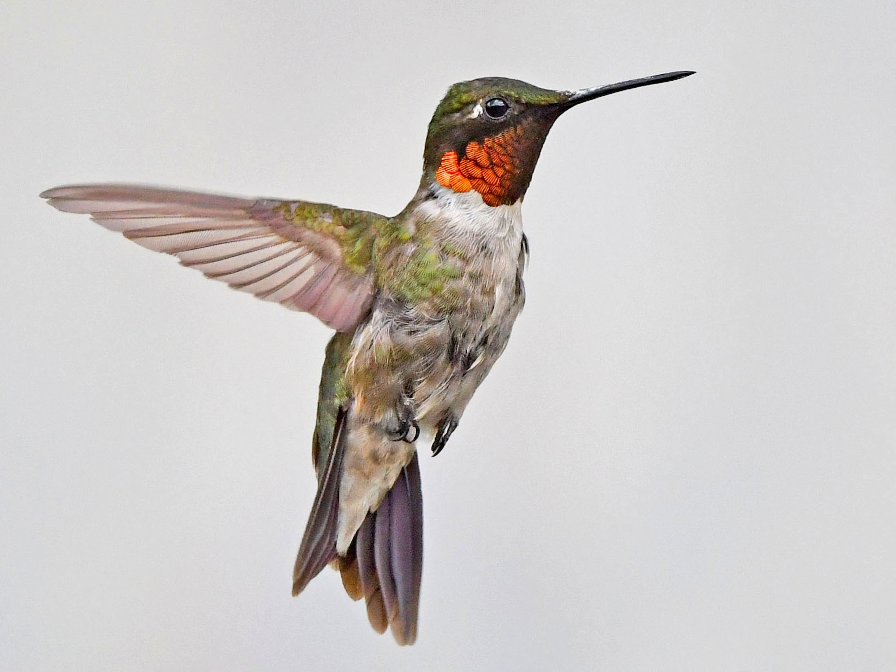 Ruby-throated Hummingbird - Jeremy Cohen