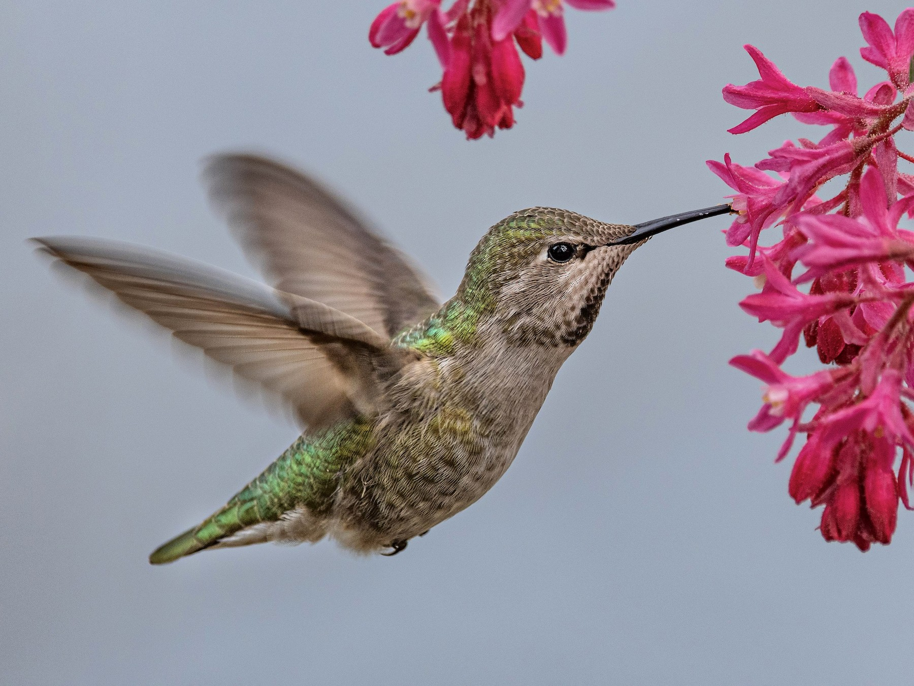 Anna's Hummingbird - Mason Maron