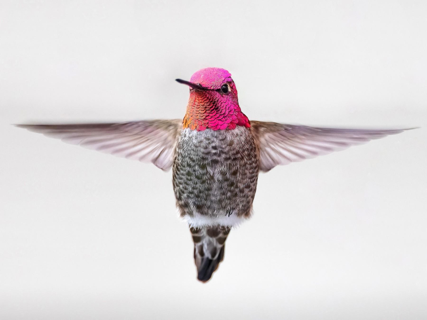 Anna's Hummingbird - Ryan Sanderson