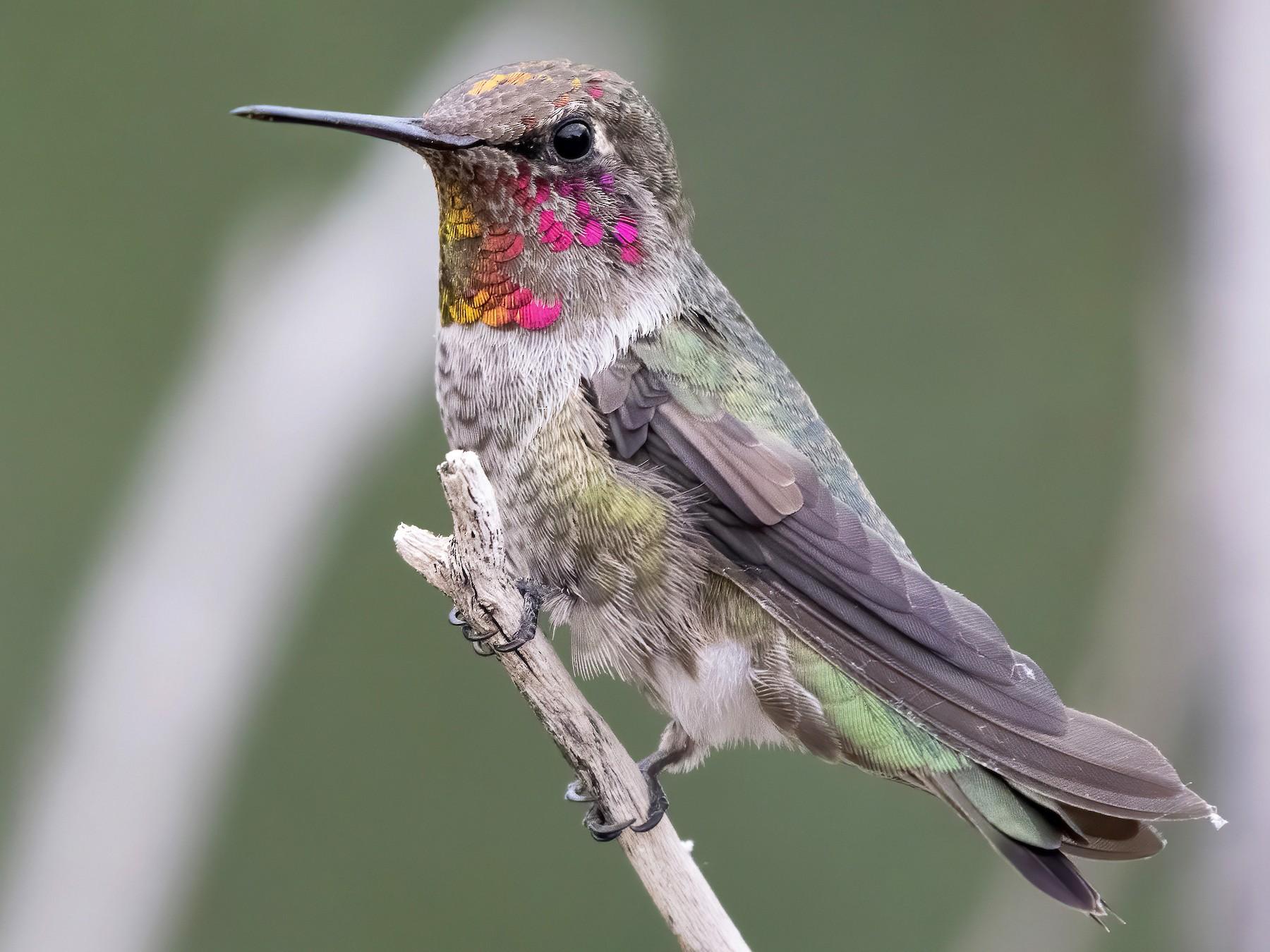 Anna's Hummingbird - Marky Mutchler