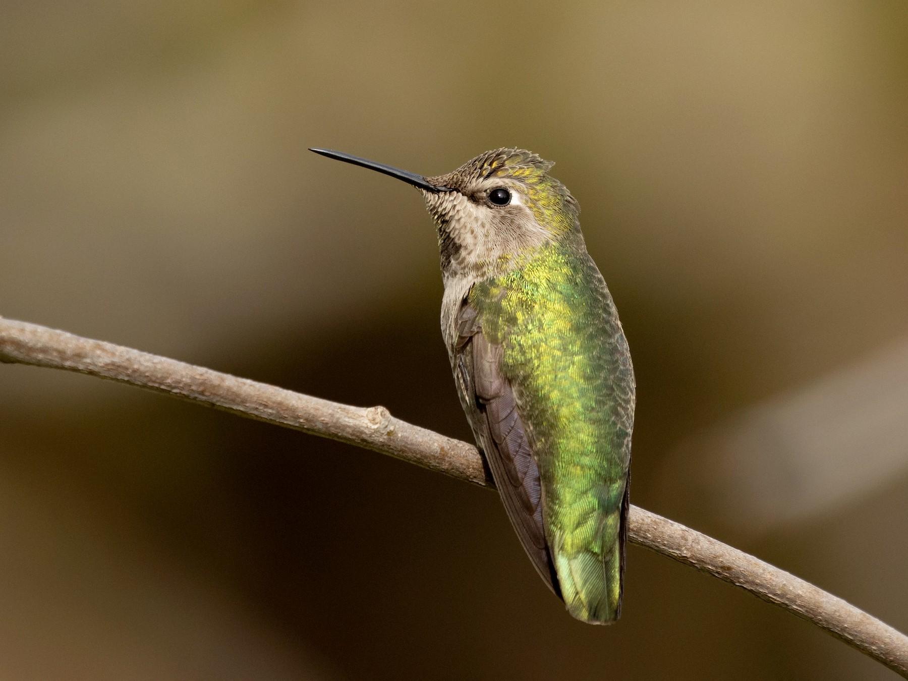 Anna's Hummingbird - Ronan Nicholson