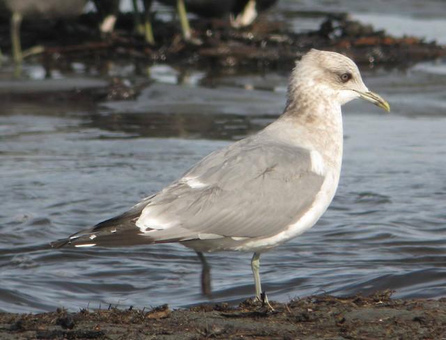 Mew Gull (American)