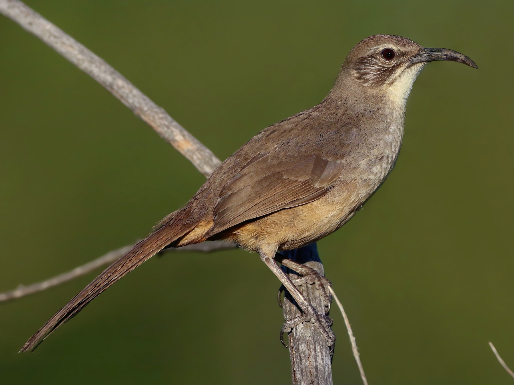 California Thrasher - Luke Seitz