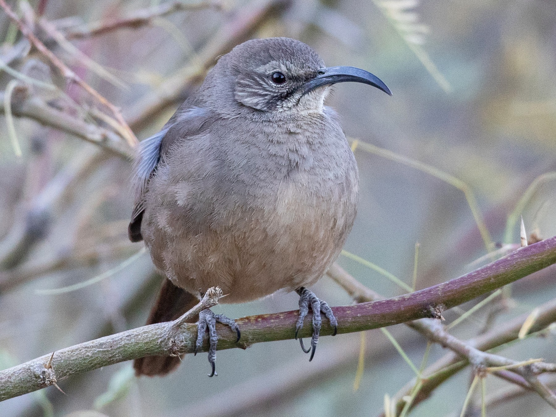 California Thrasher - Ian Davies