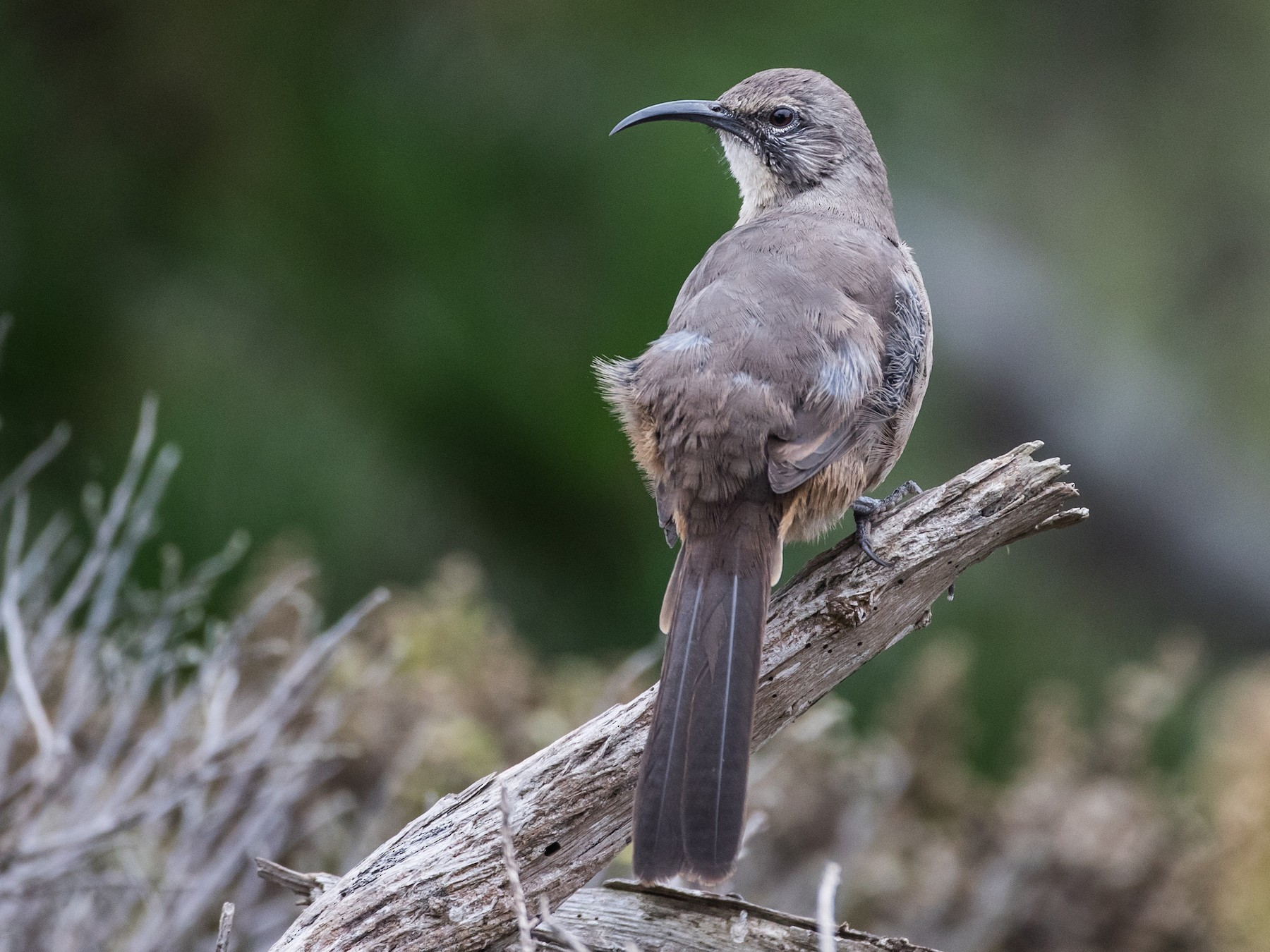 California Thrasher - Blake Matheson