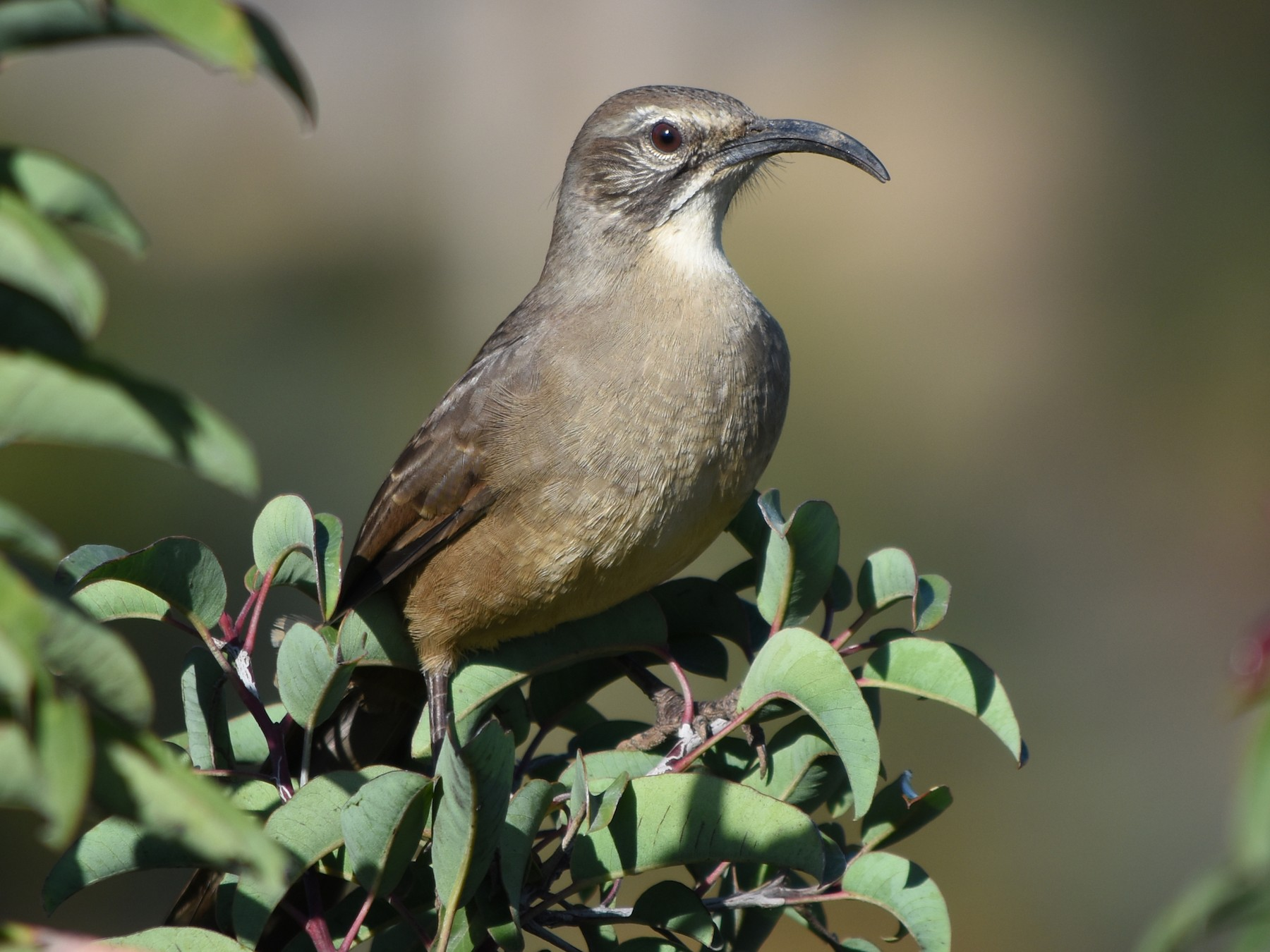 California Thrasher - Drew Beamer