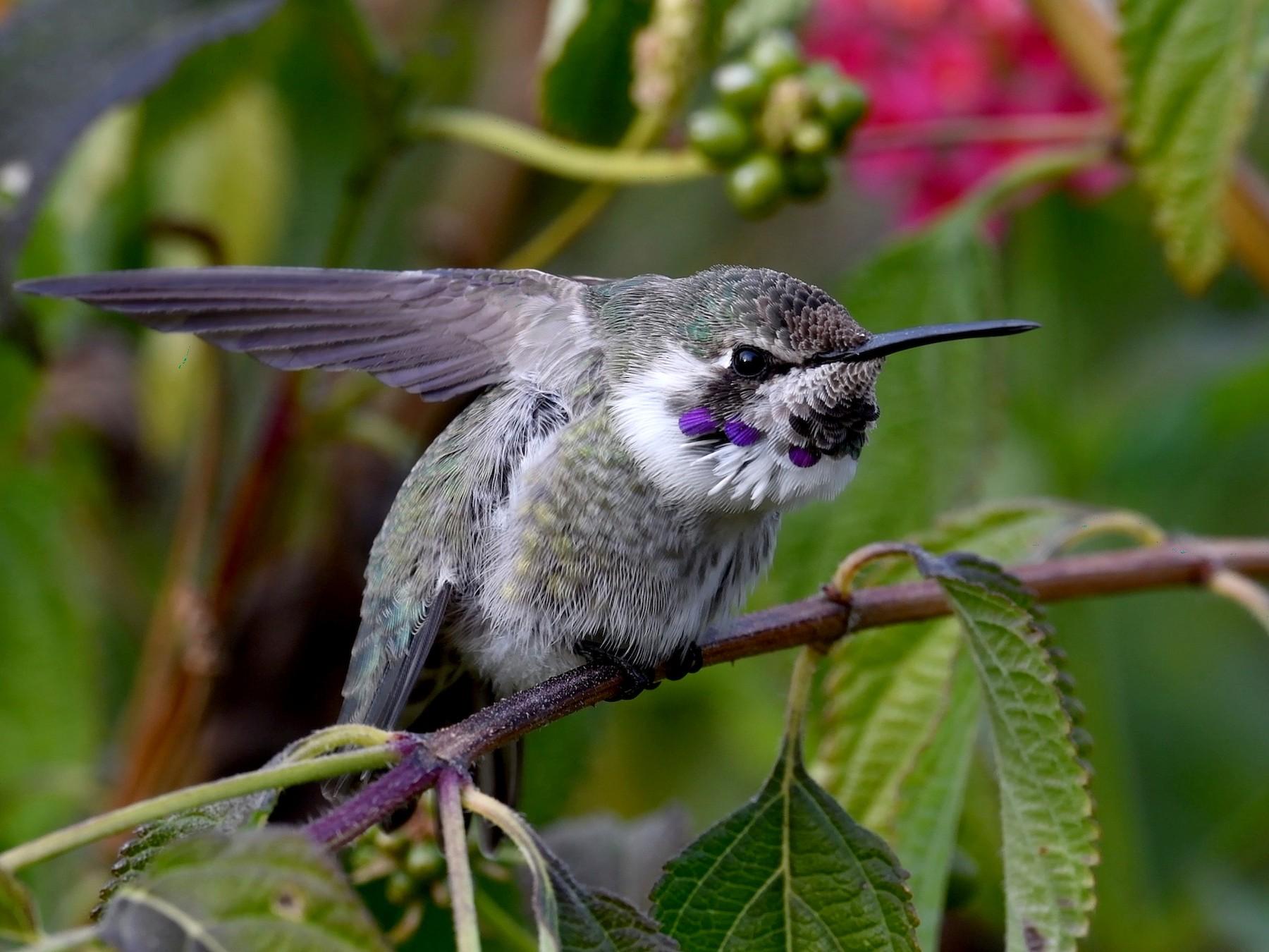 Costa's Hummingbird - Brian Sullivan