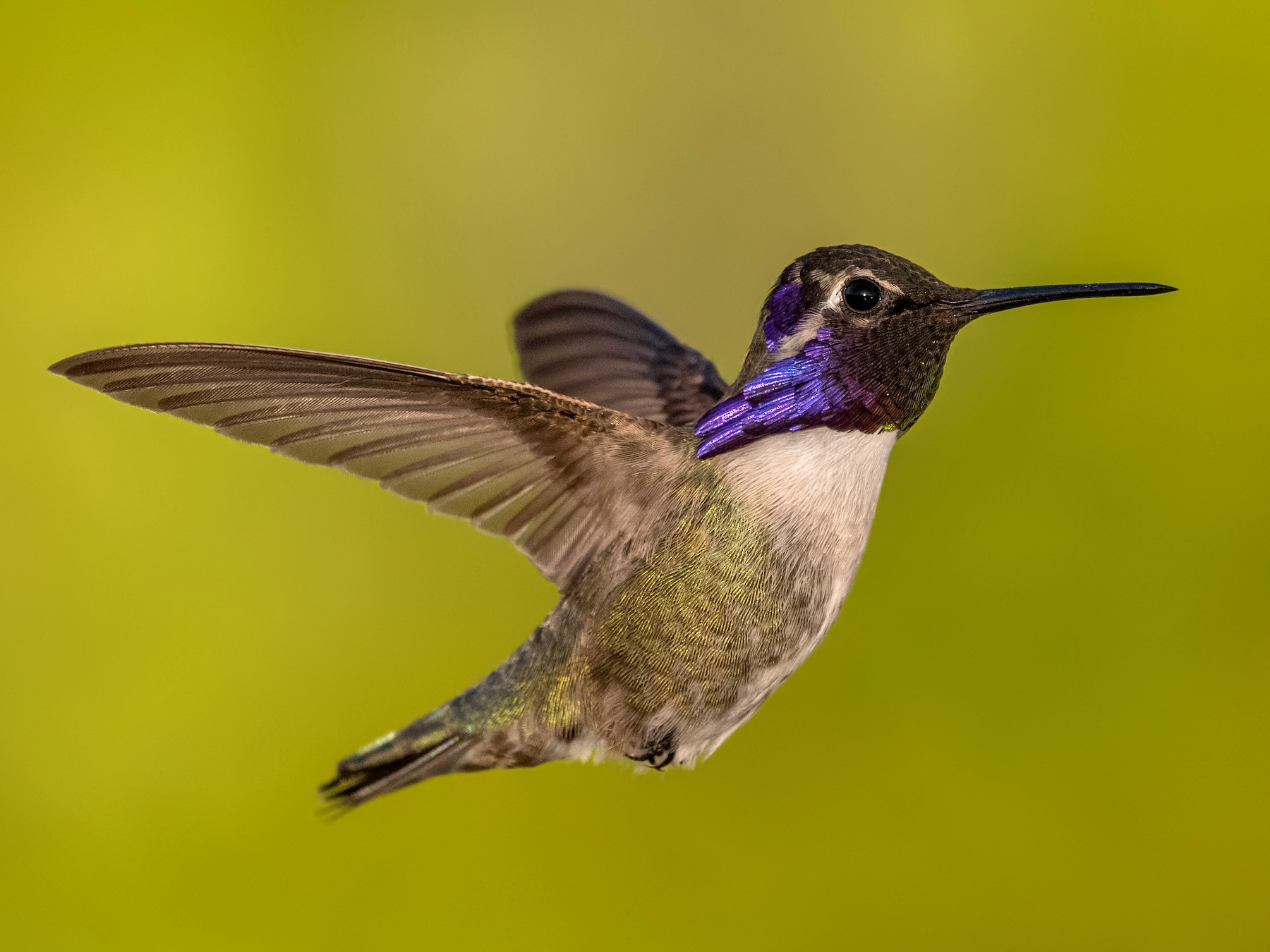Costa's Hummingbird - Sharif Uddin