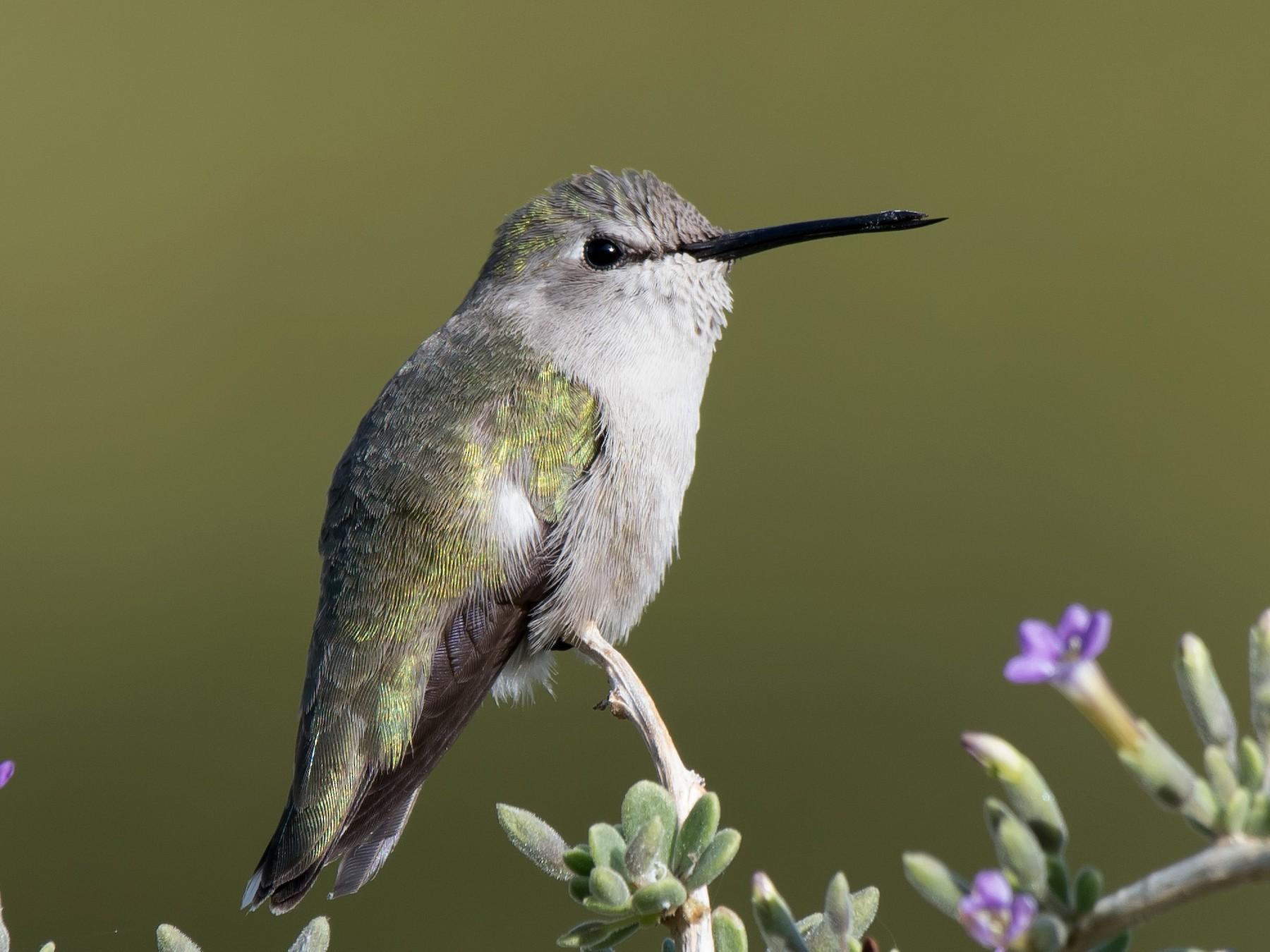 Costa's Hummingbird - Gordon Karre