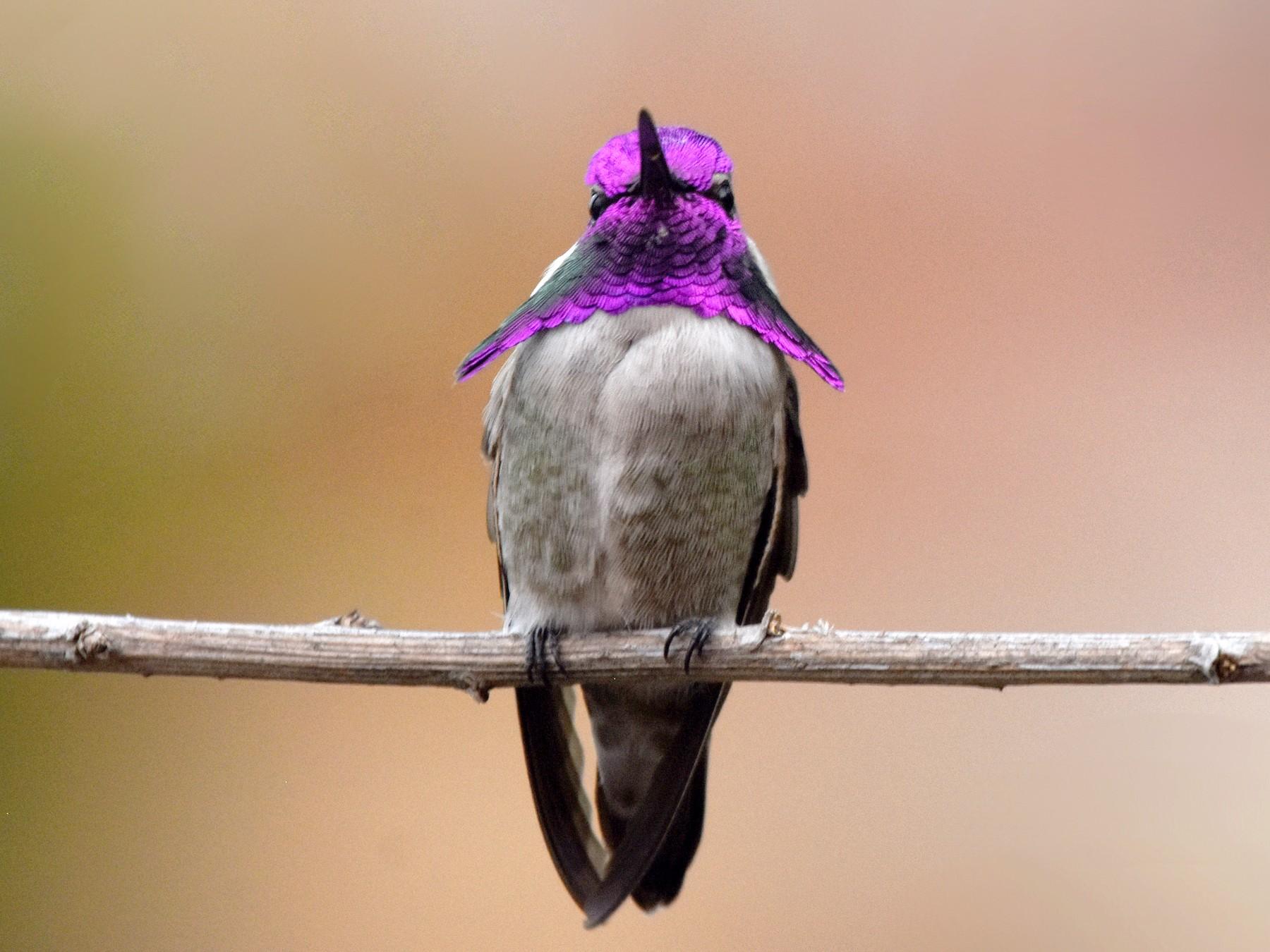 Costa's Hummingbird - Christopher Lindsey