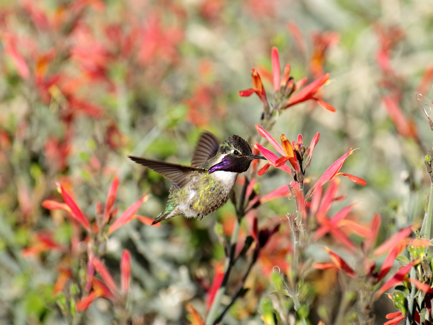 Costa's Hummingbird - James Taylor