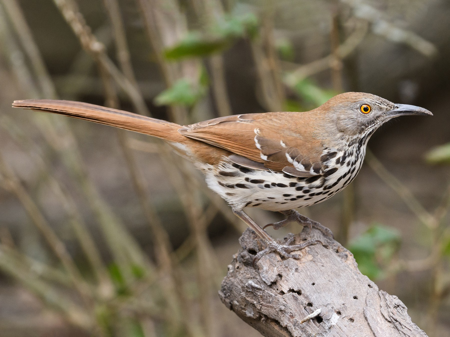 Long-billed Thrasher - Darren Clark