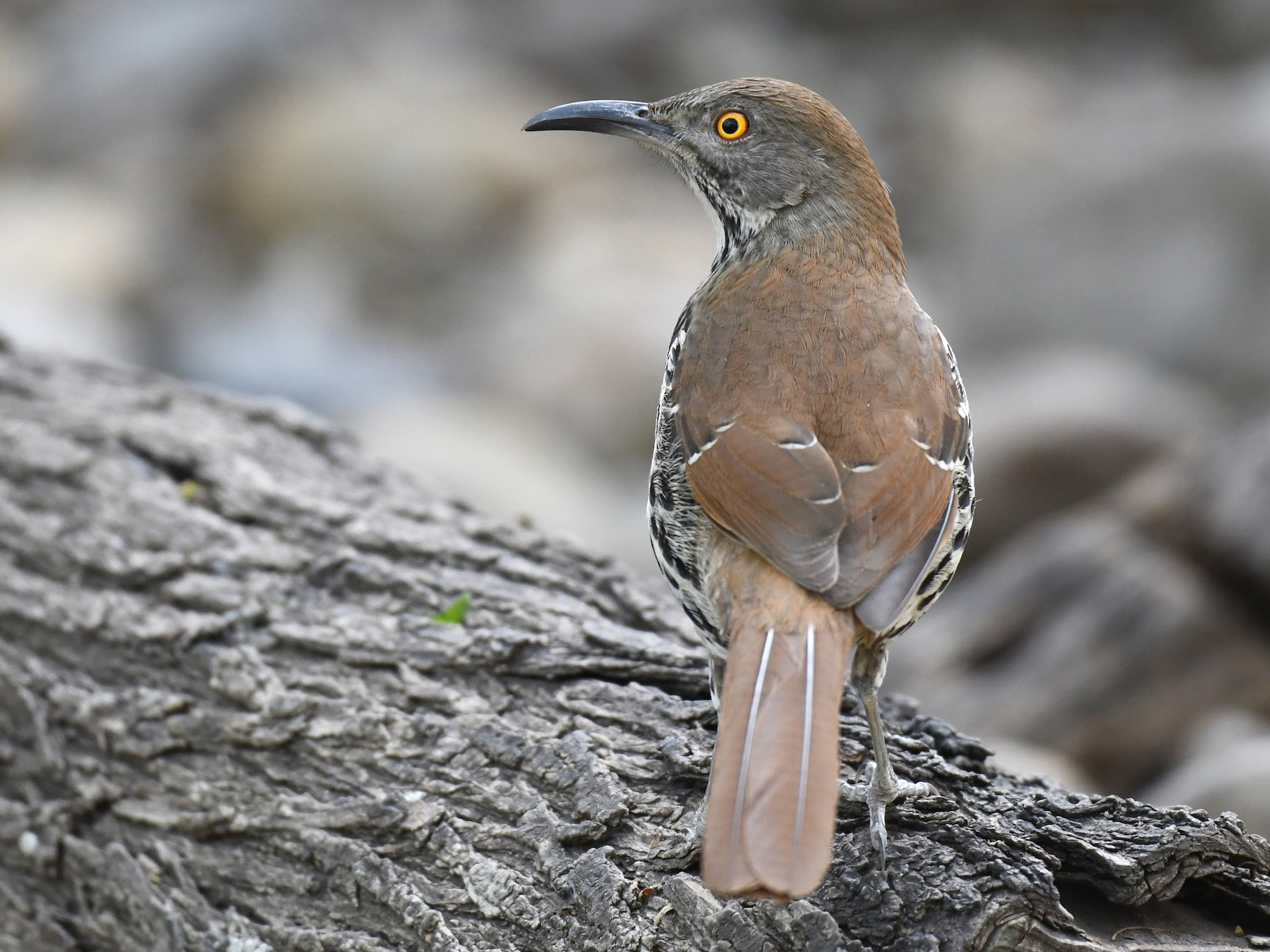 Long-billed Thrasher - Simon Kiacz