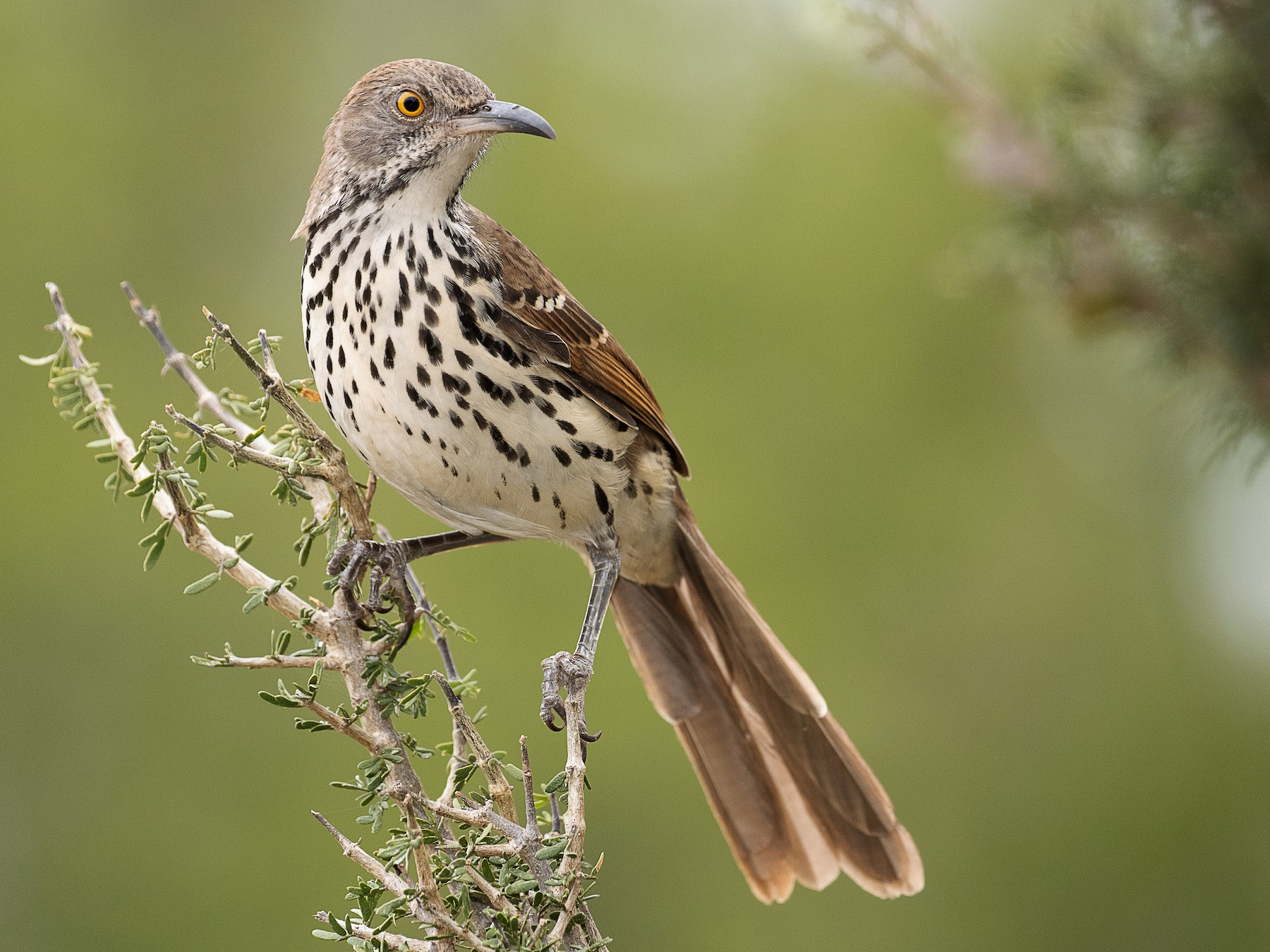 Long-billed Thrasher - mark daly