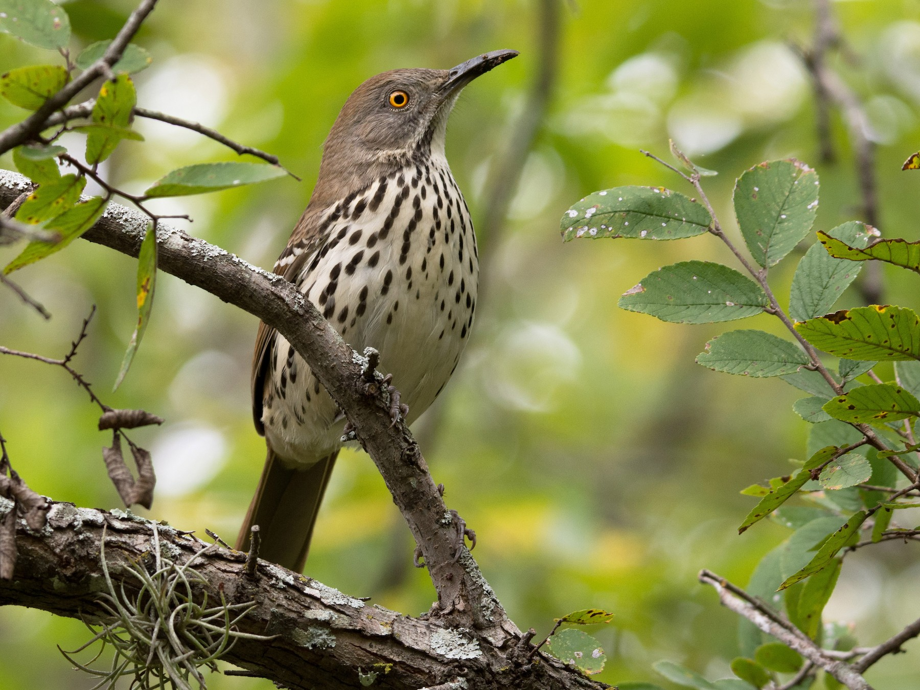 Long-billed Thrasher - Frank Lehman
