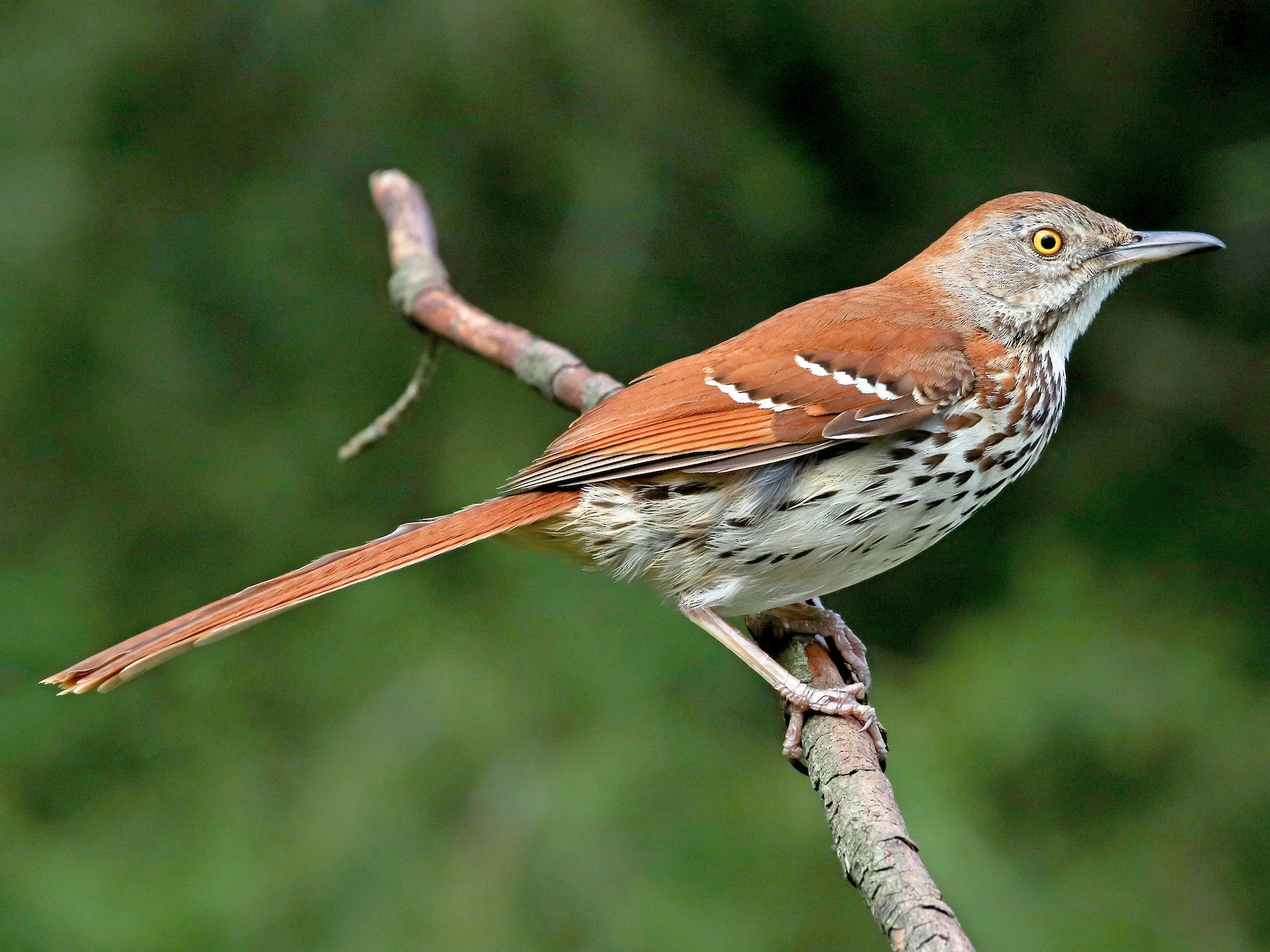 Brown Thrasher - Martina Nordstrand