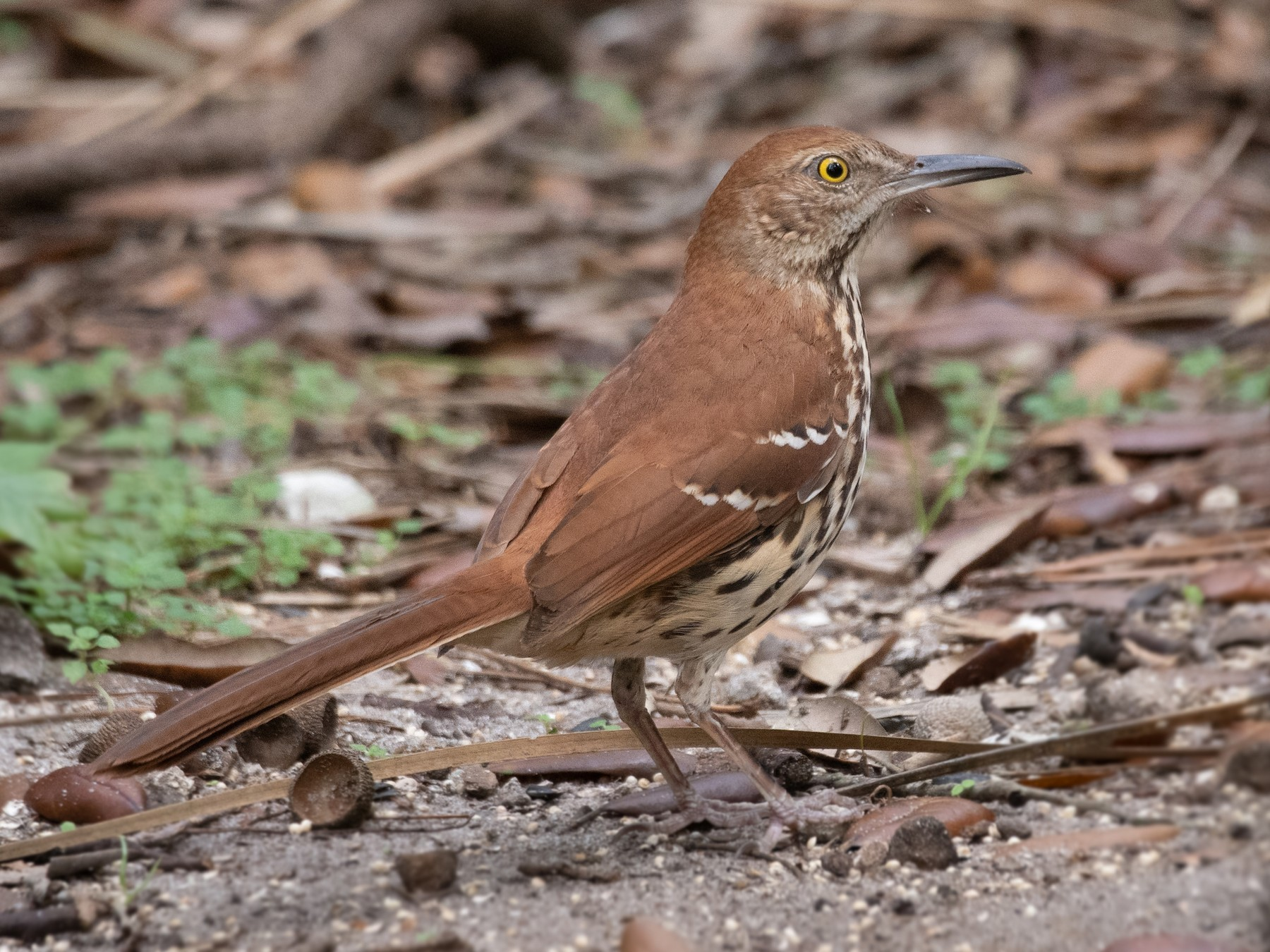 Brown Thrasher - Mark Schulist